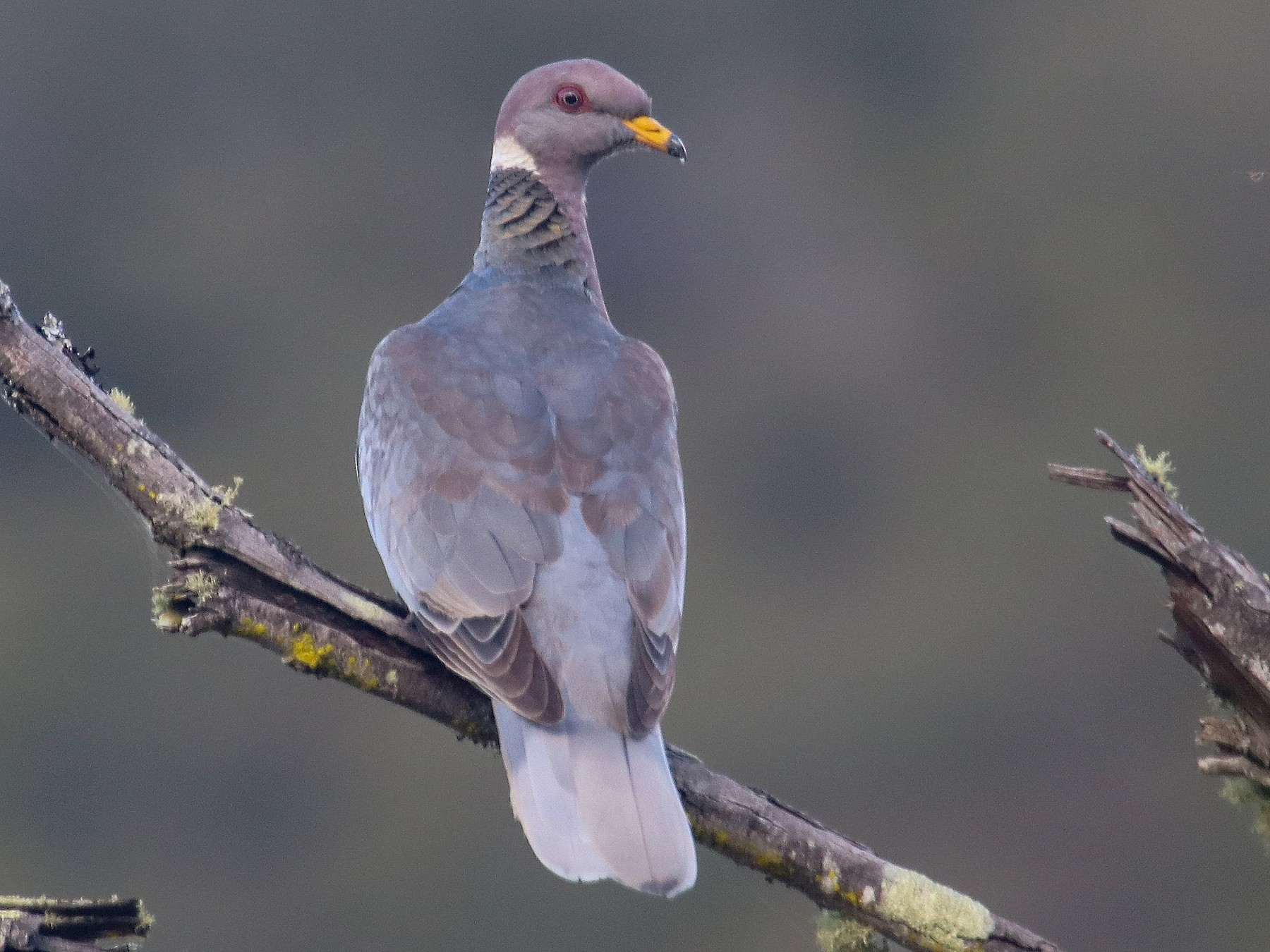 Band-tailed Pigeon - Gerardo Marrón