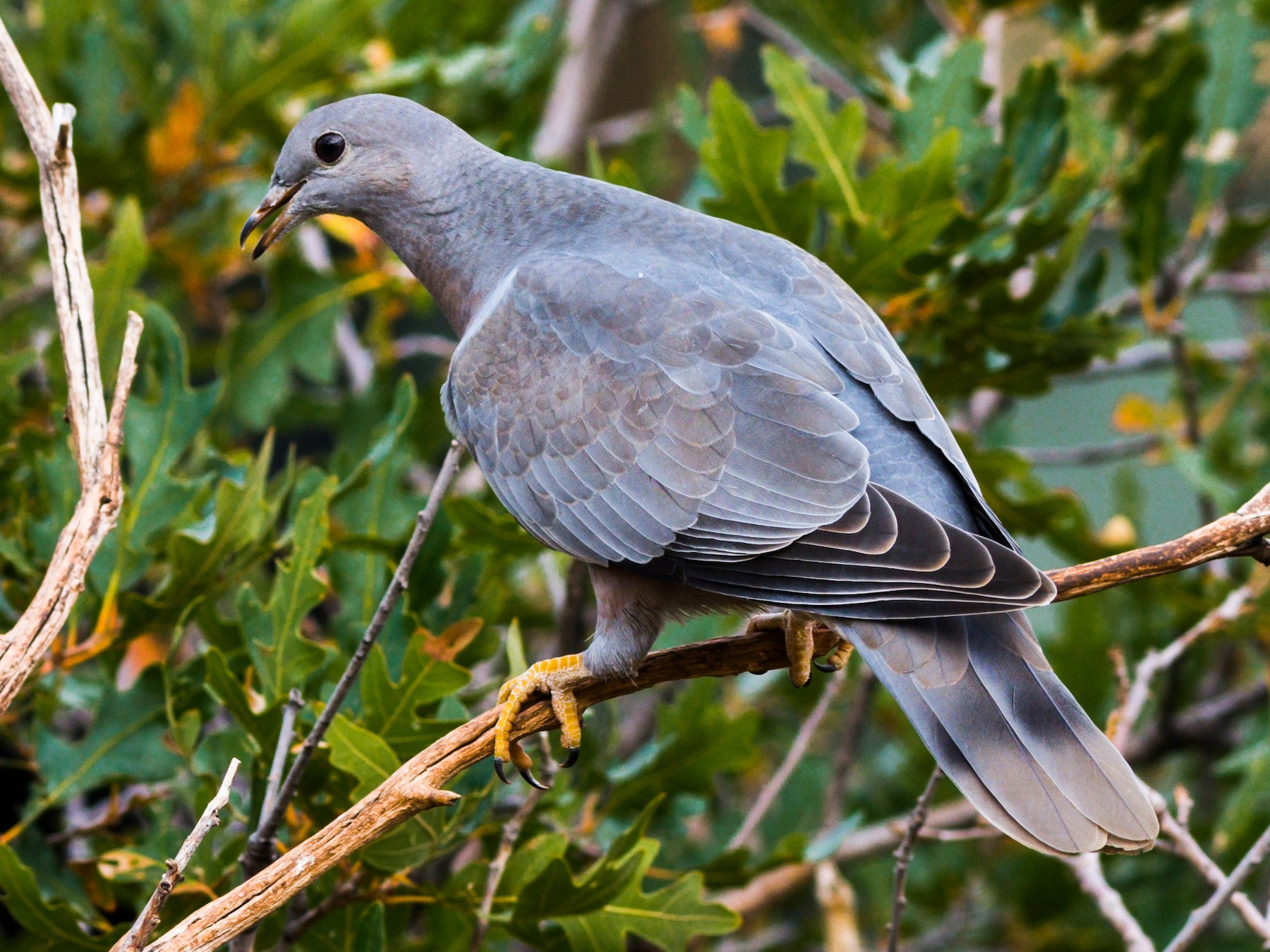 Band-tailed Pigeon - Jim Merritt