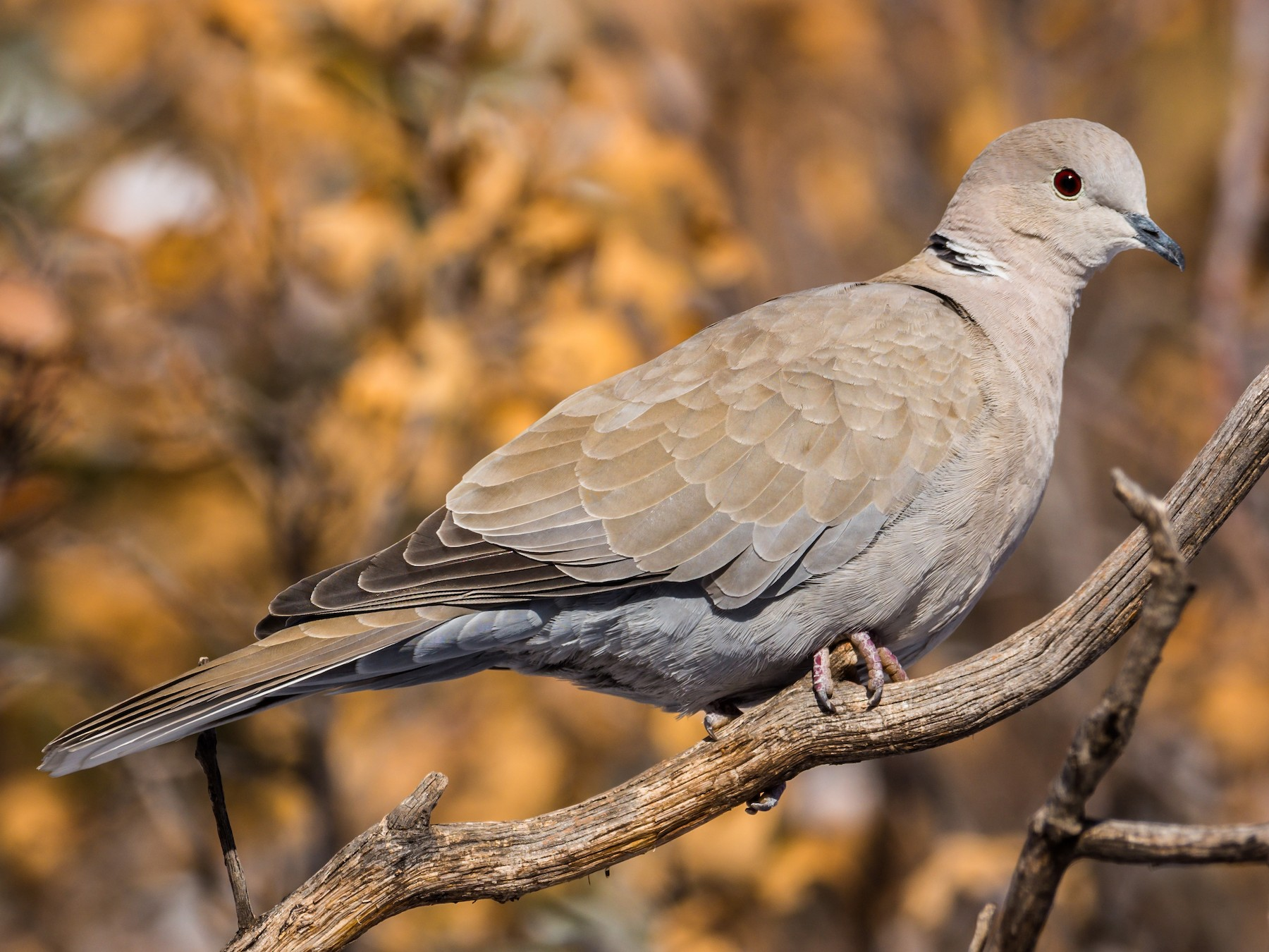 Eurasian Collared-Dove - Jim Merritt