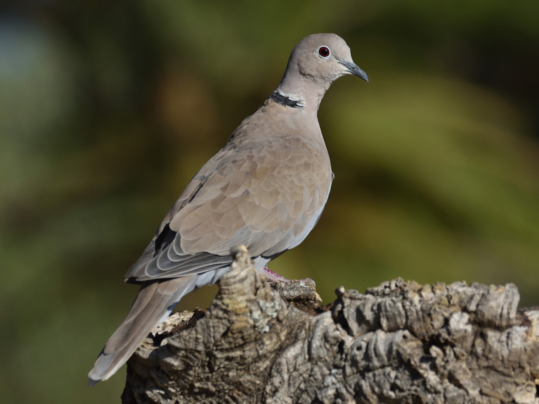 Eurasian Collared-Dove - Santiago Caballero Carrera