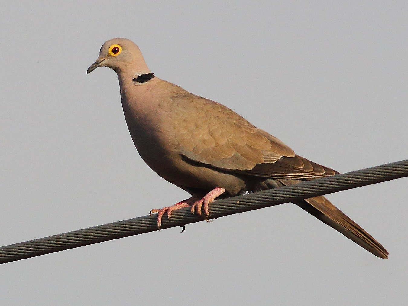Eurasian Collared-Dove - Carlos Bocos