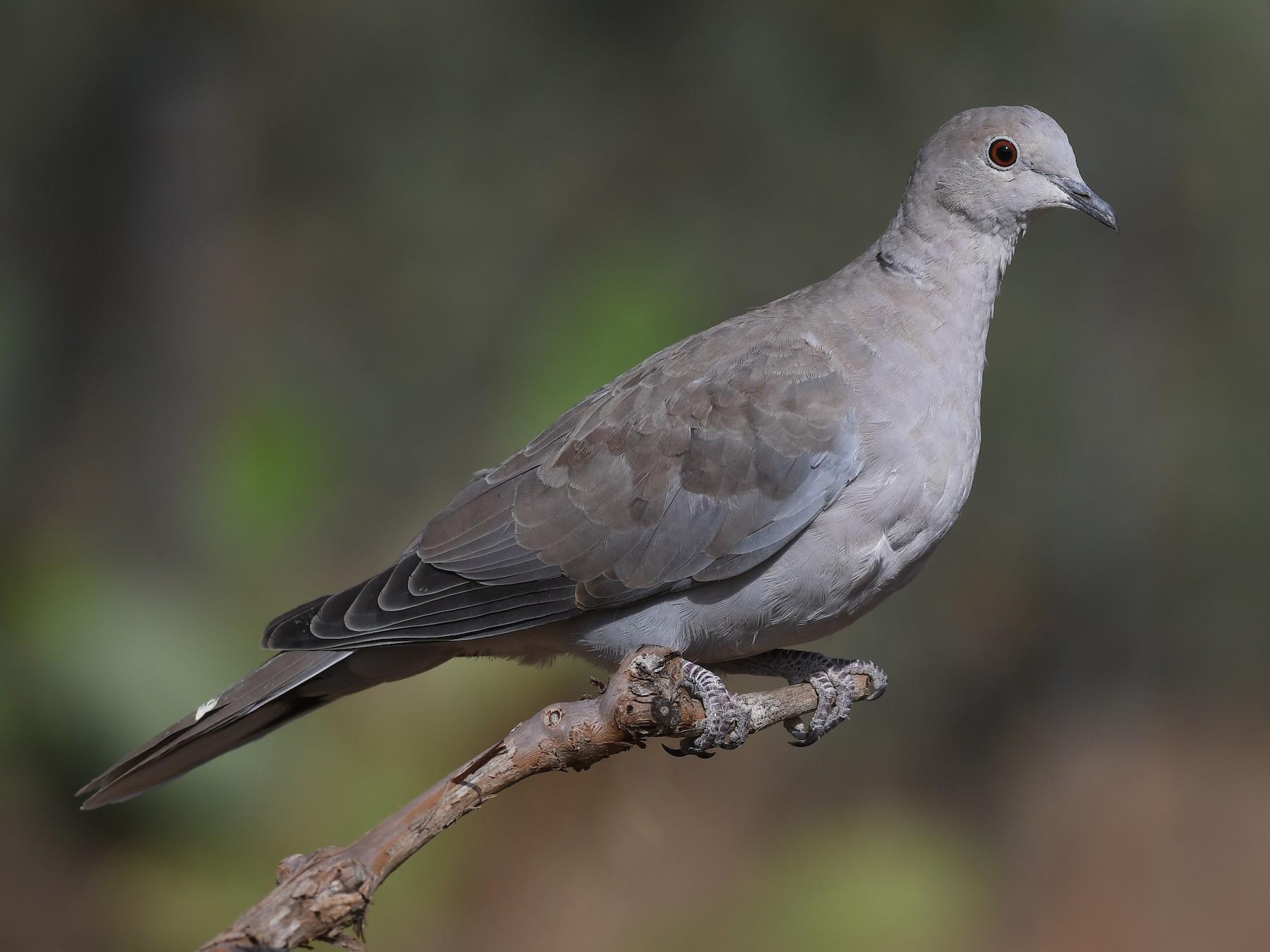 Eurasian Collared-Dove - Santiago Caballero Carrera