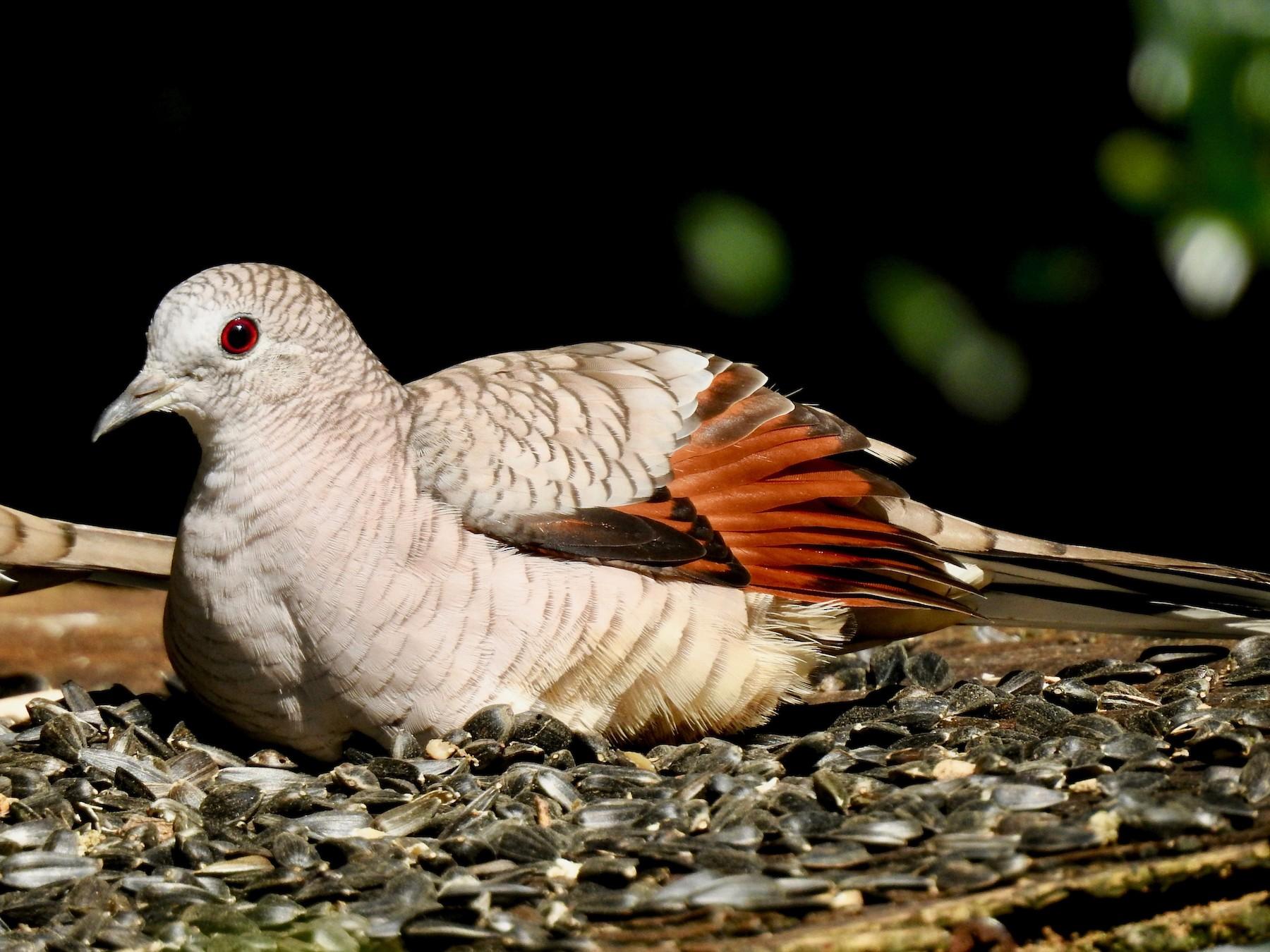 Inca Dove - Van Remsen