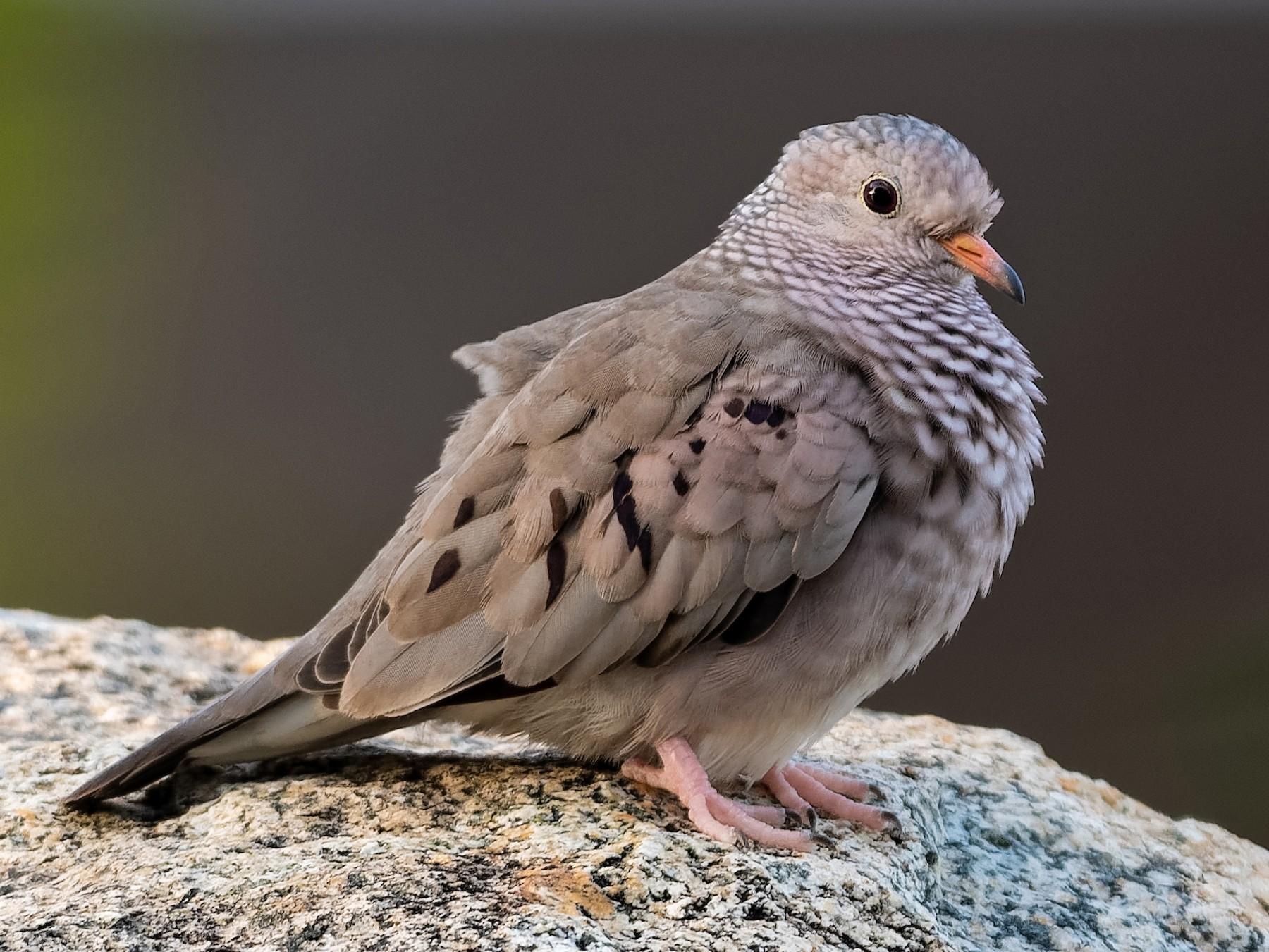 Common Ground Dove - Don Danko