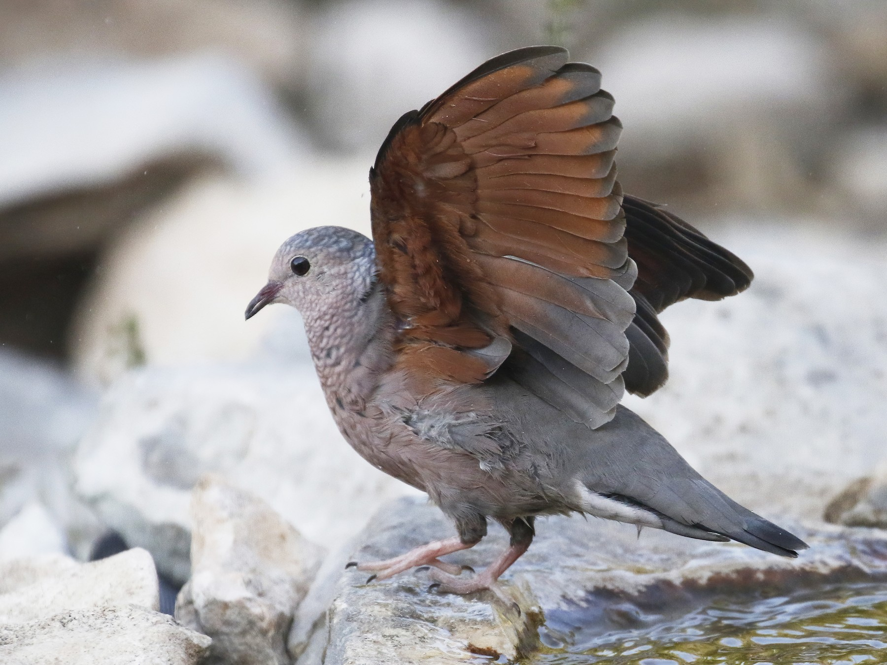 Common Ground Dove - Laura Keene