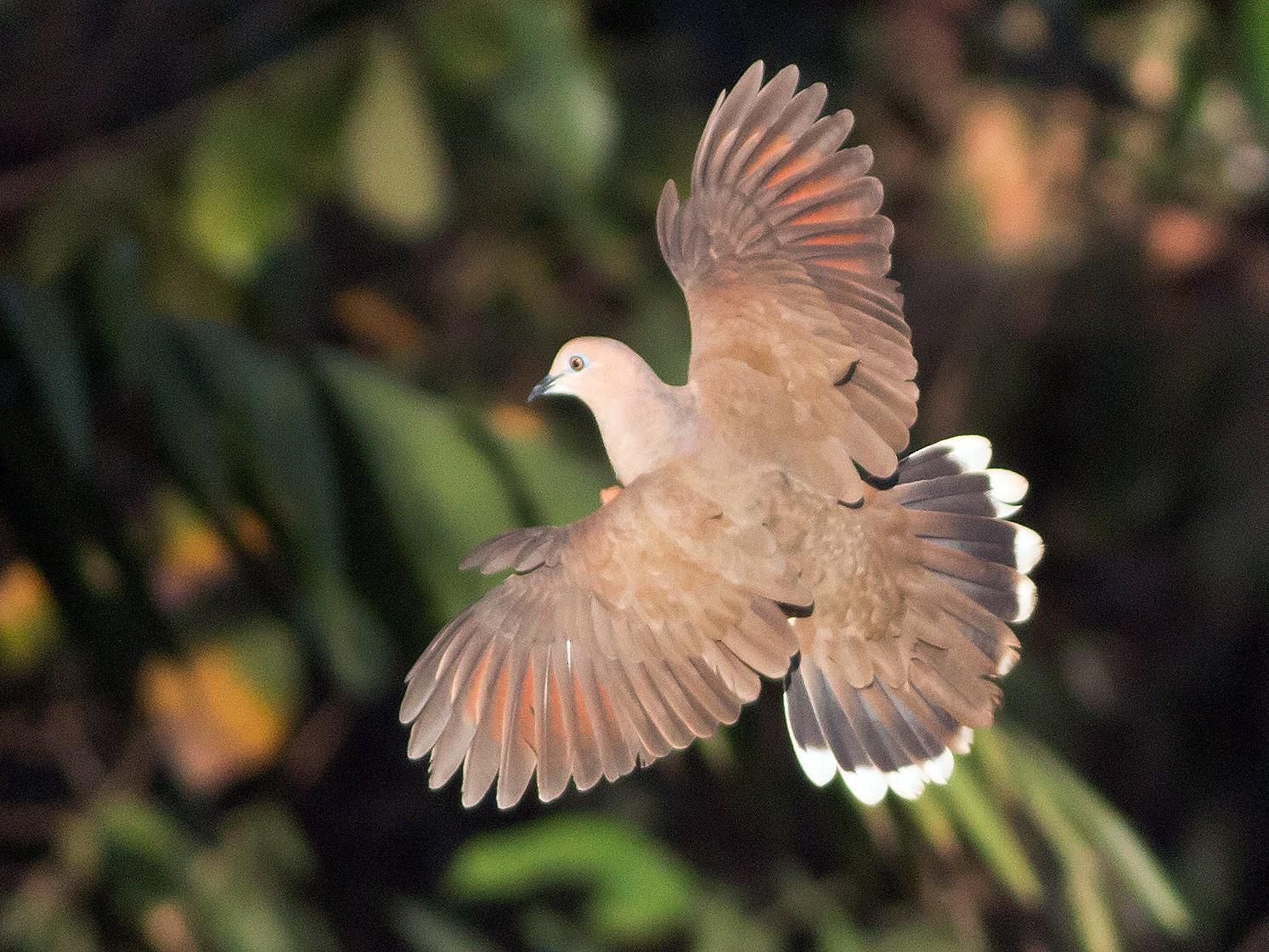 White-tipped Dove - Ruth  Danella