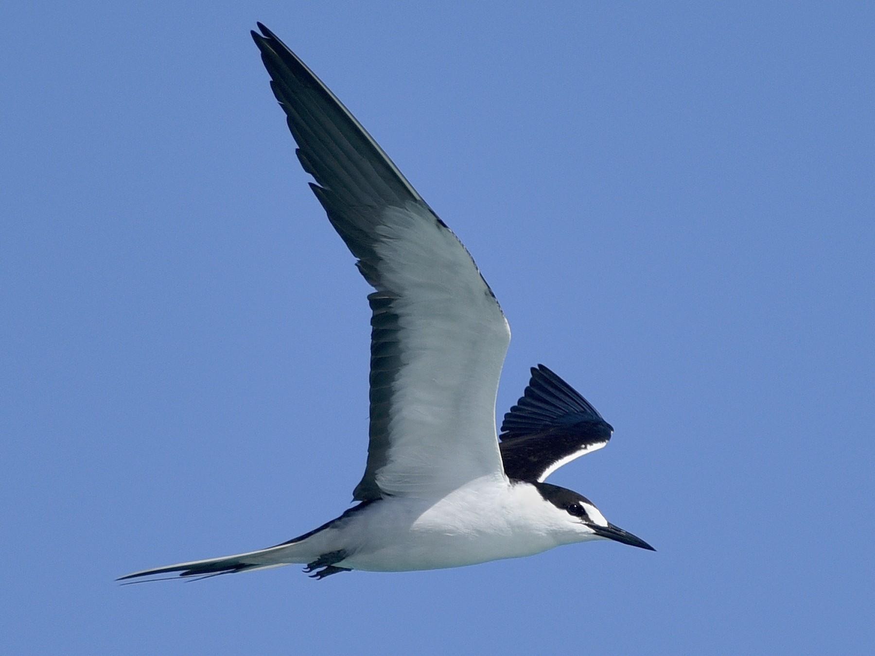 Sooty Tern - Daniel Irons