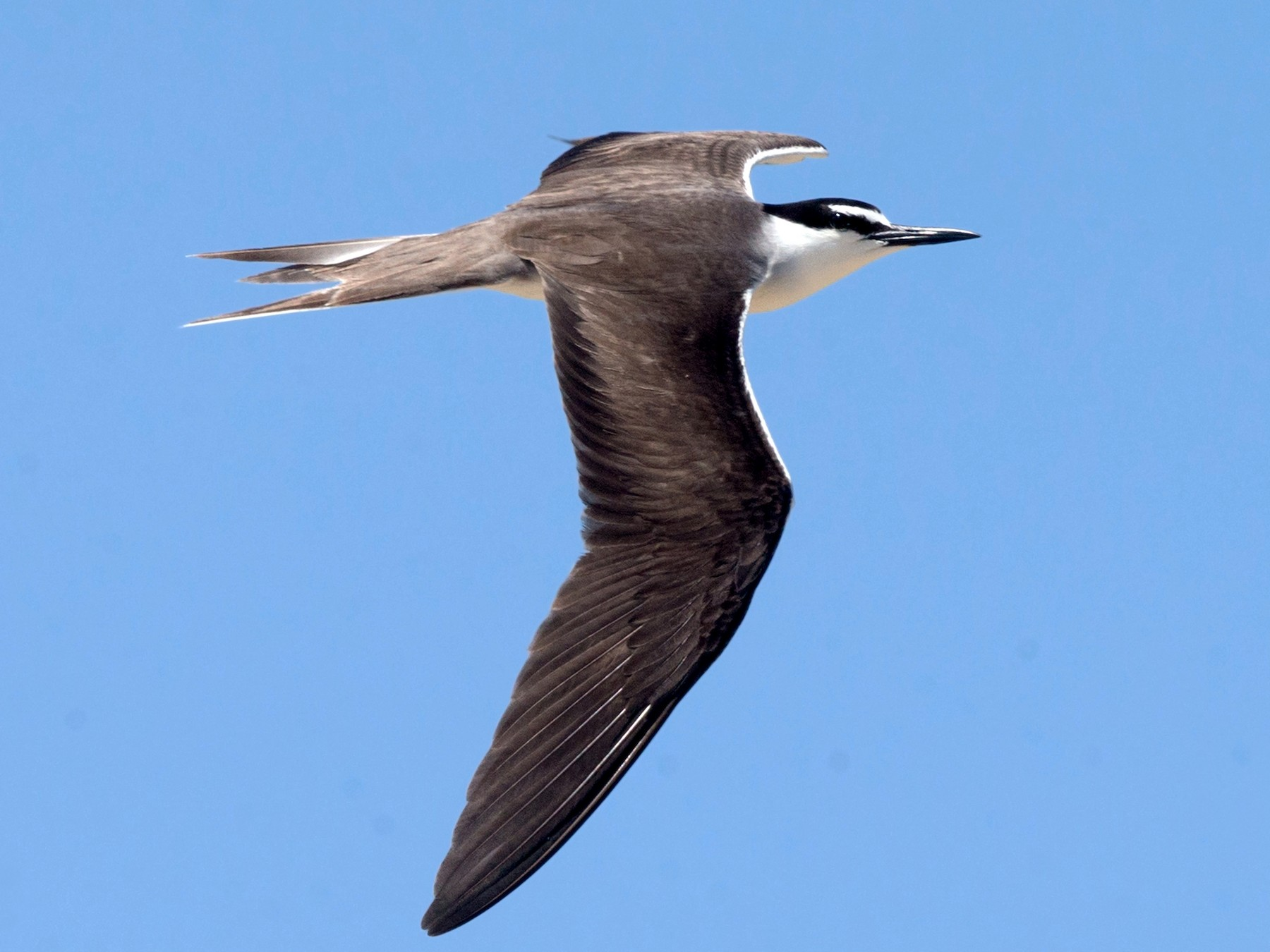 Bridled Tern - David Irving