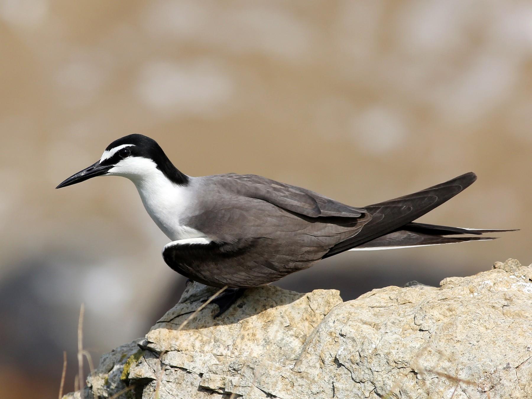 Bridled Tern - Cheng Qian