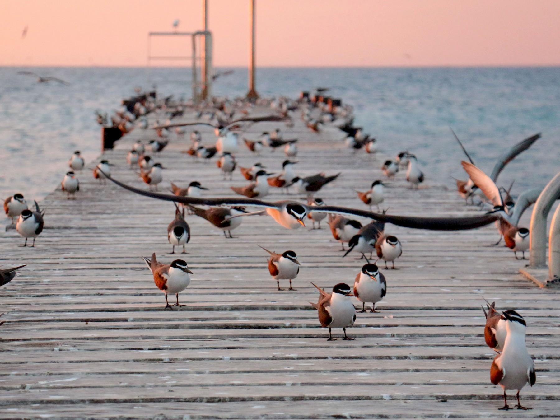 Bridled Tern - Birding Aboard