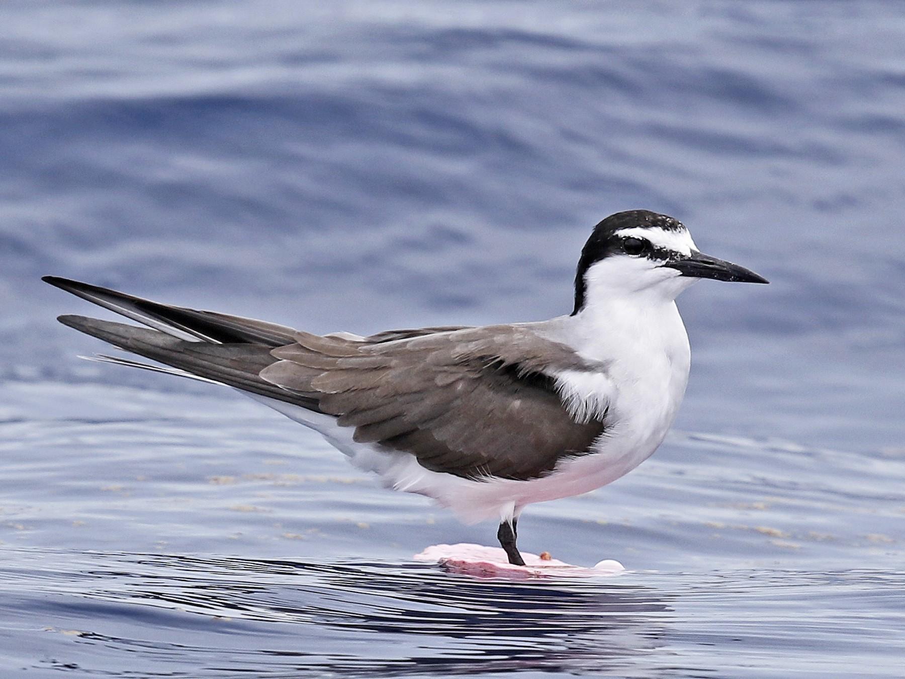 Bridled Tern - Tammy McQuade