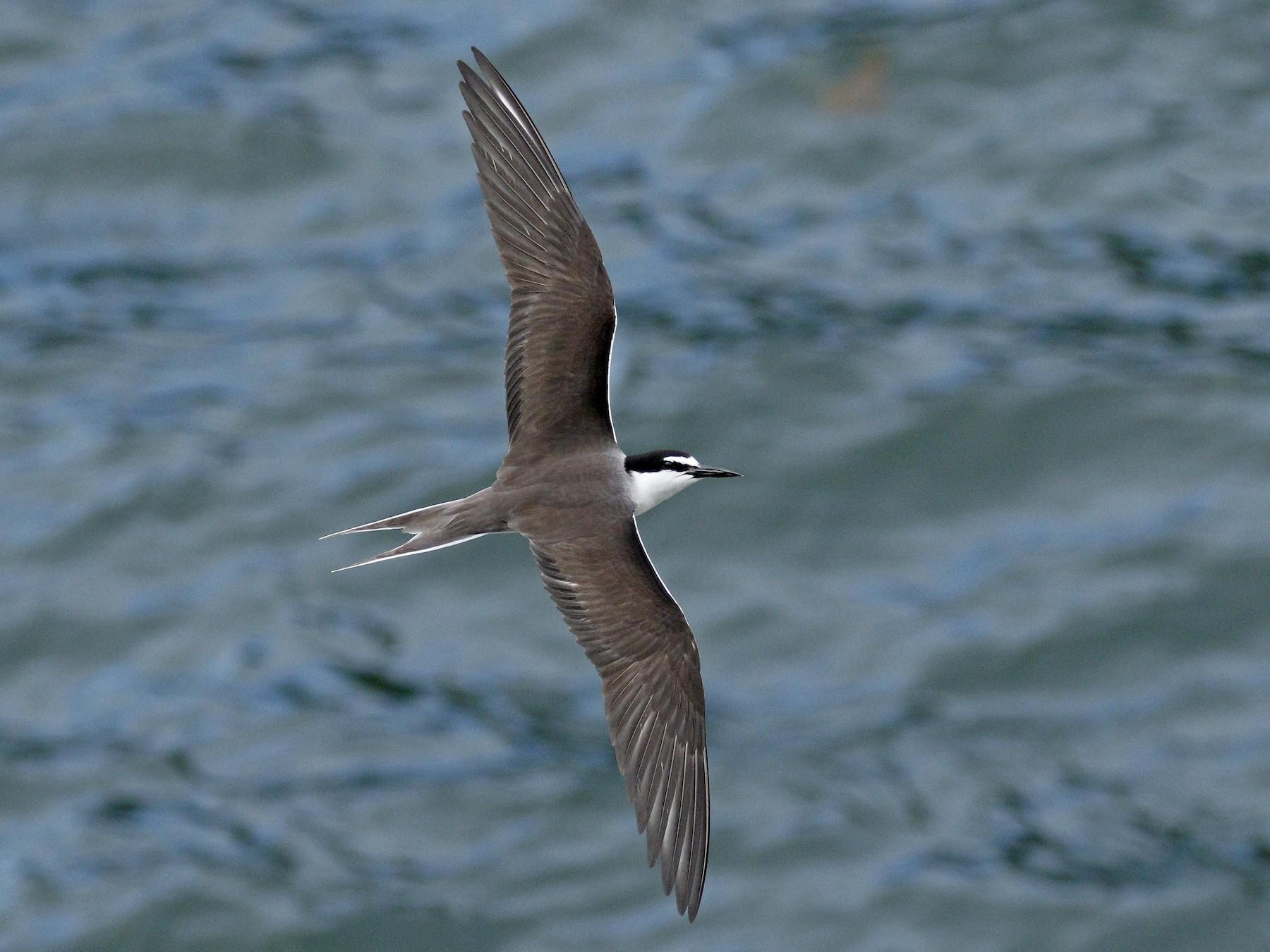 Bridled Tern - Adam Bowley
