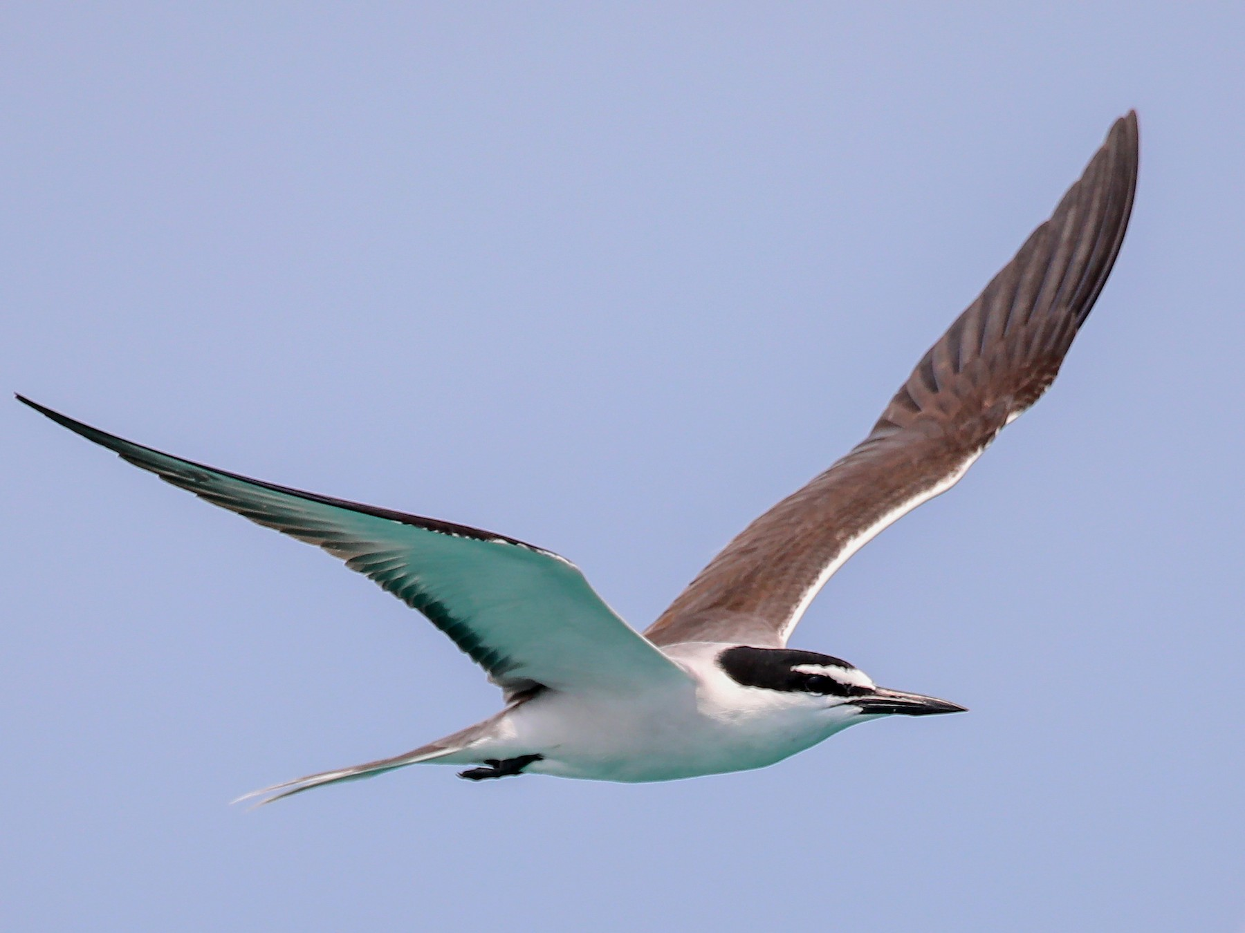 Bridled Tern - Aaron Juan