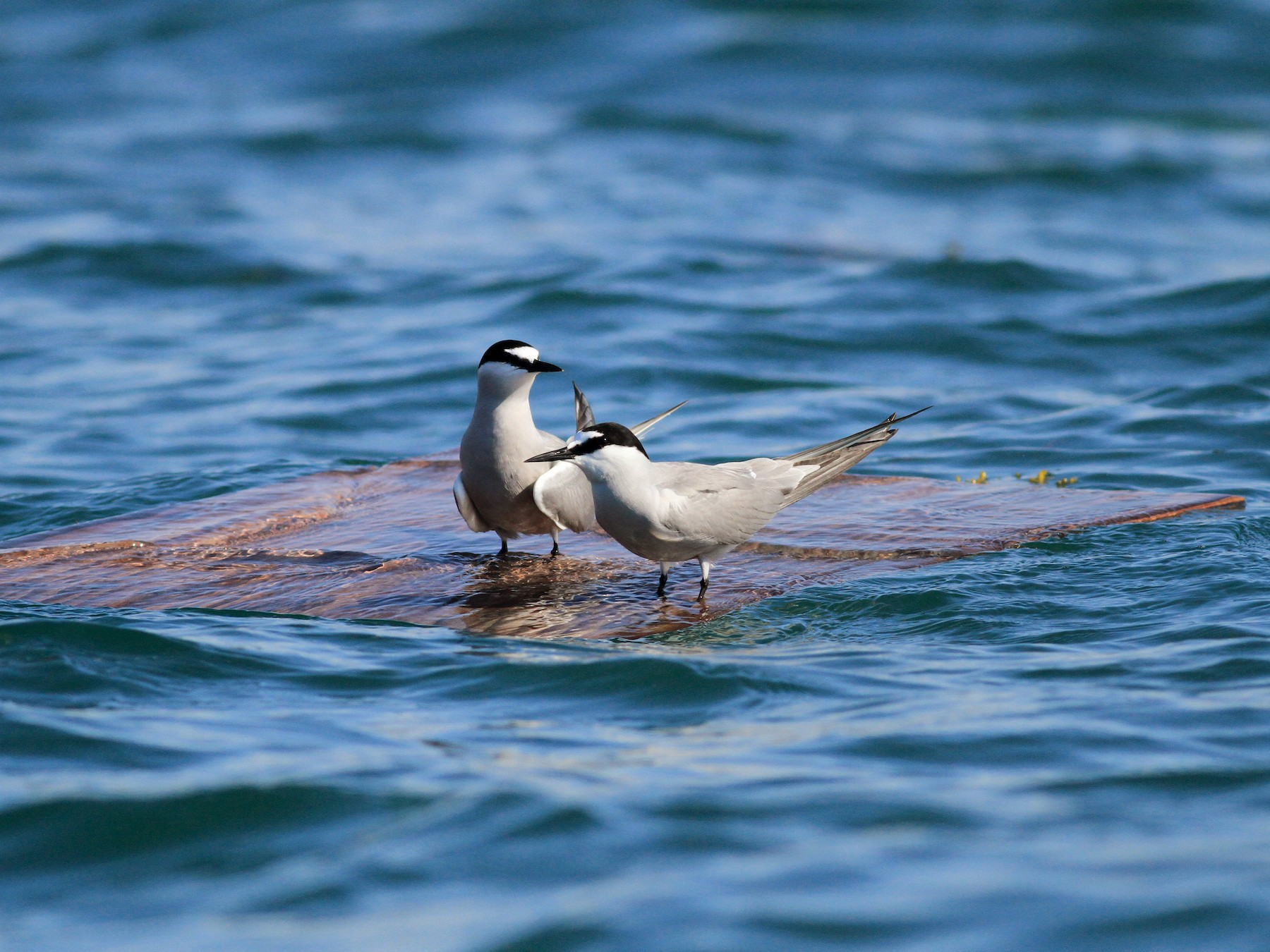 Aleutian Tern - Jay McGowan