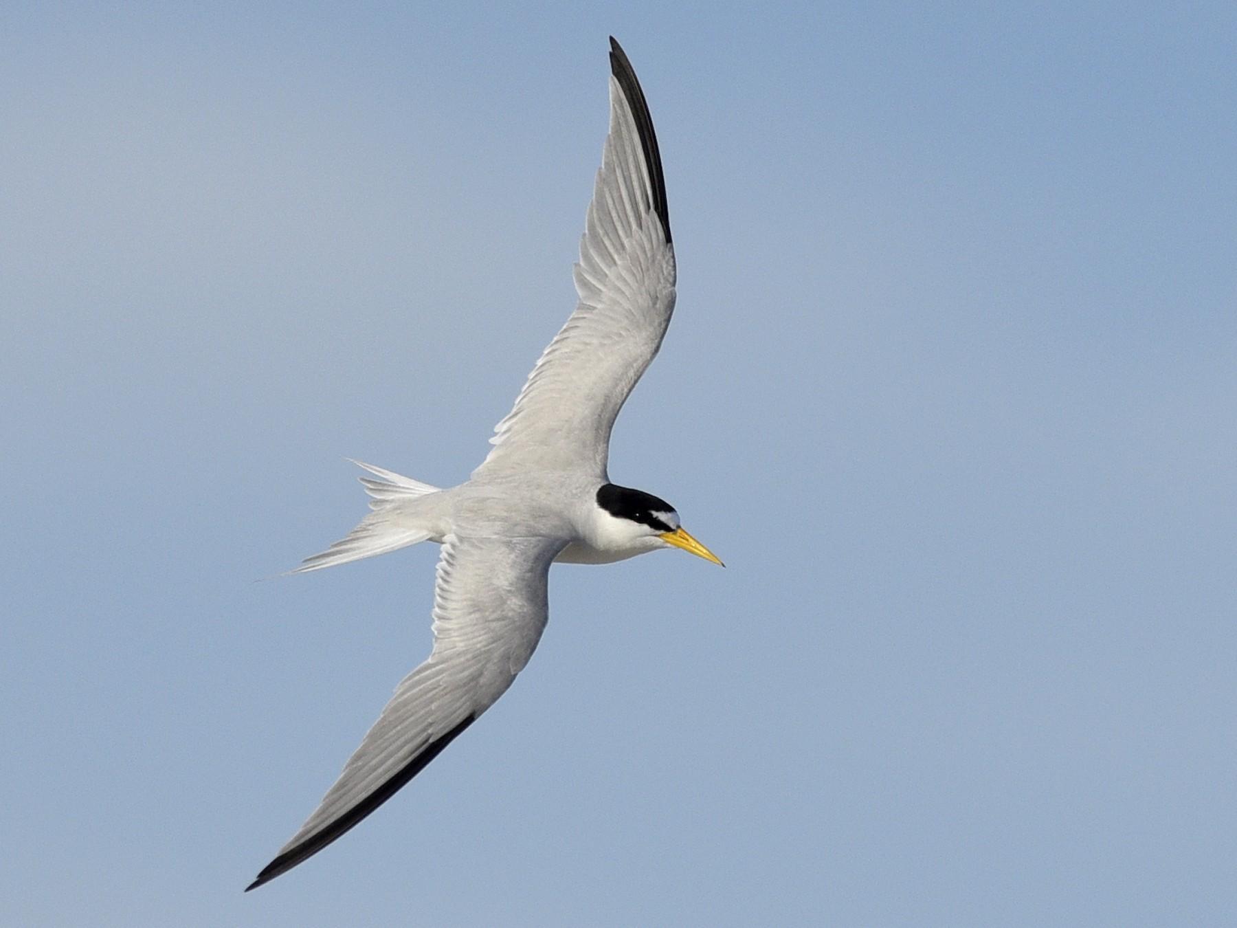 Least Tern - Daniel Irons