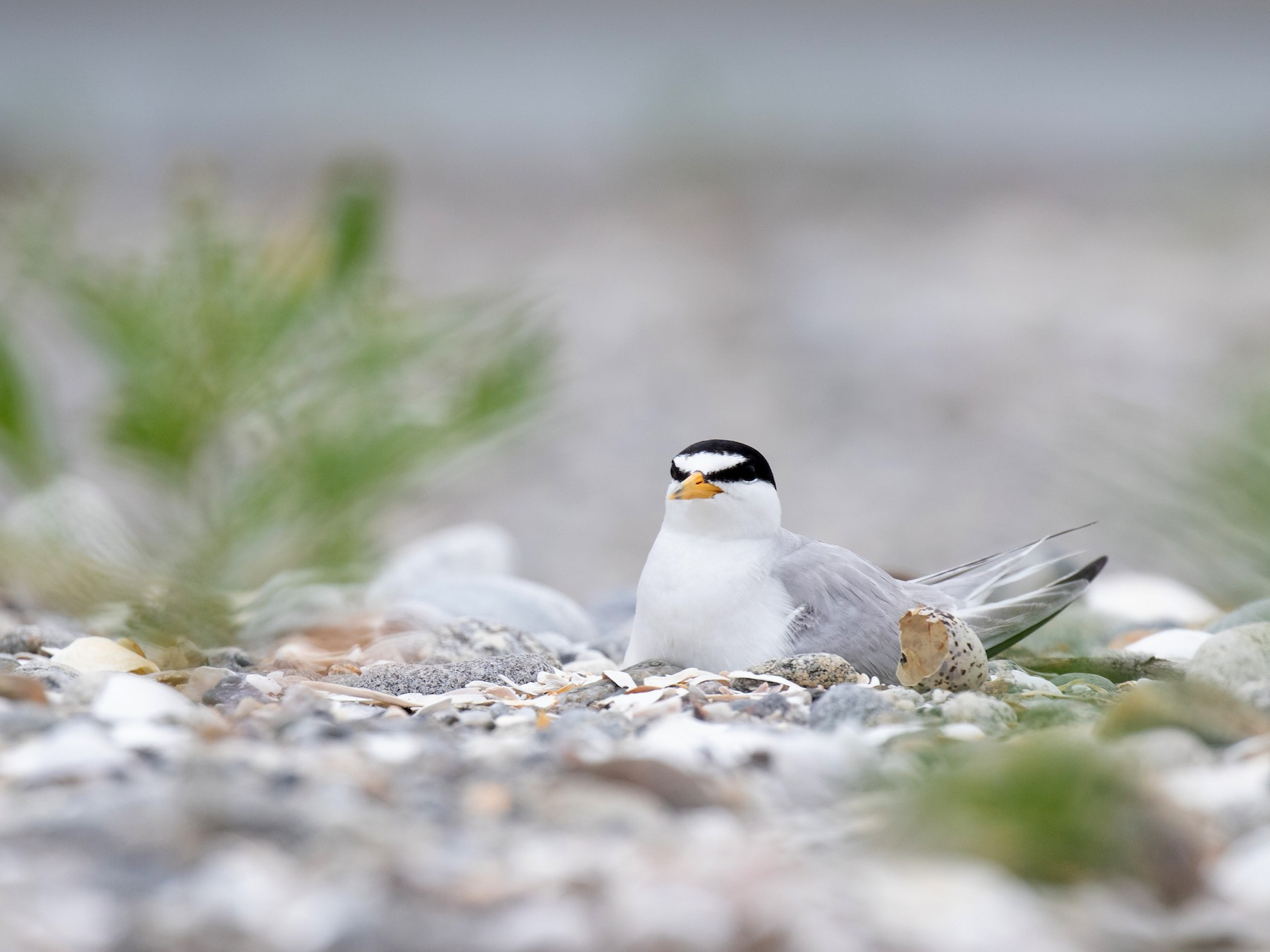 Least Tern - Nick Dorian