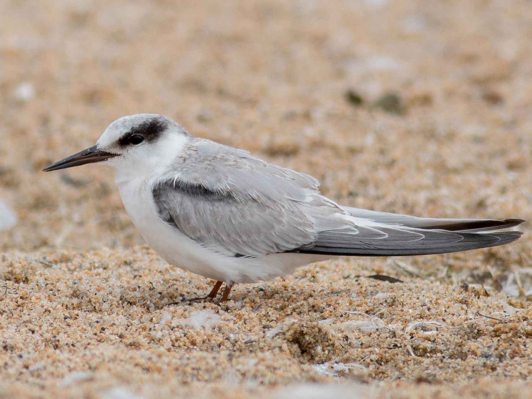 Least Tern - Paul Fenwick