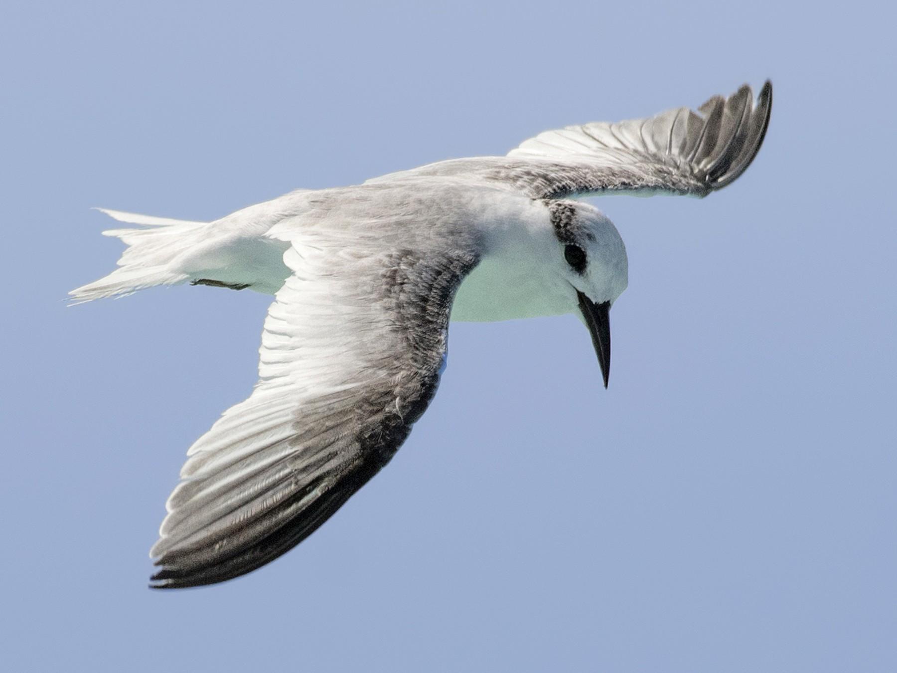 Least Tern - Carl Giometti