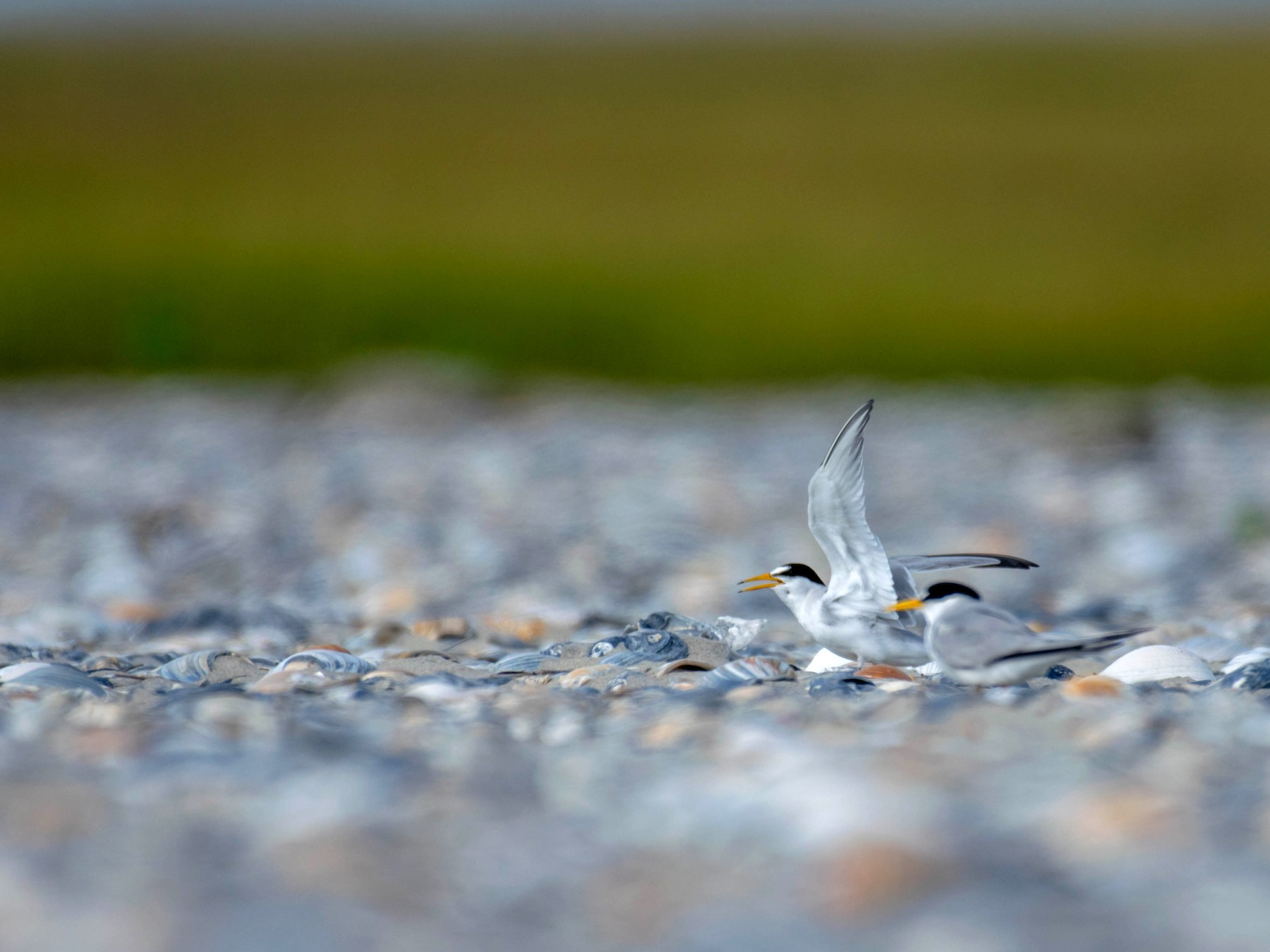 Least Tern - Amiel Hopkins