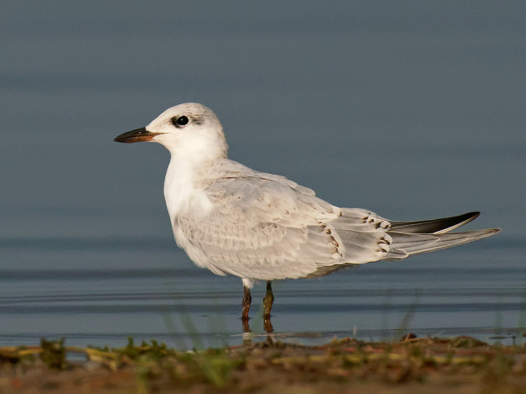 Gull-billed Tern - Vincent Wang