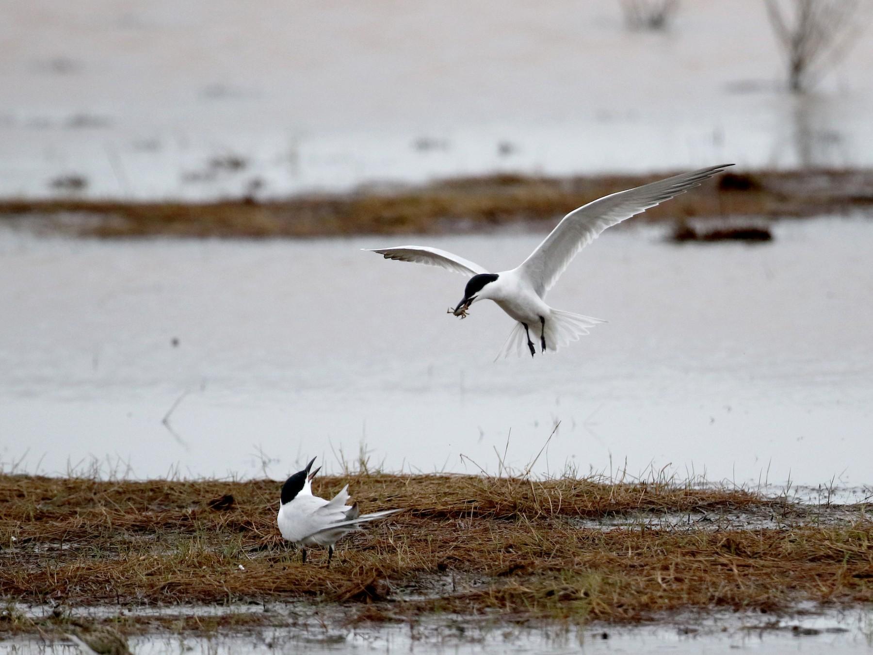Gull-billed Tern - Jay McGowan