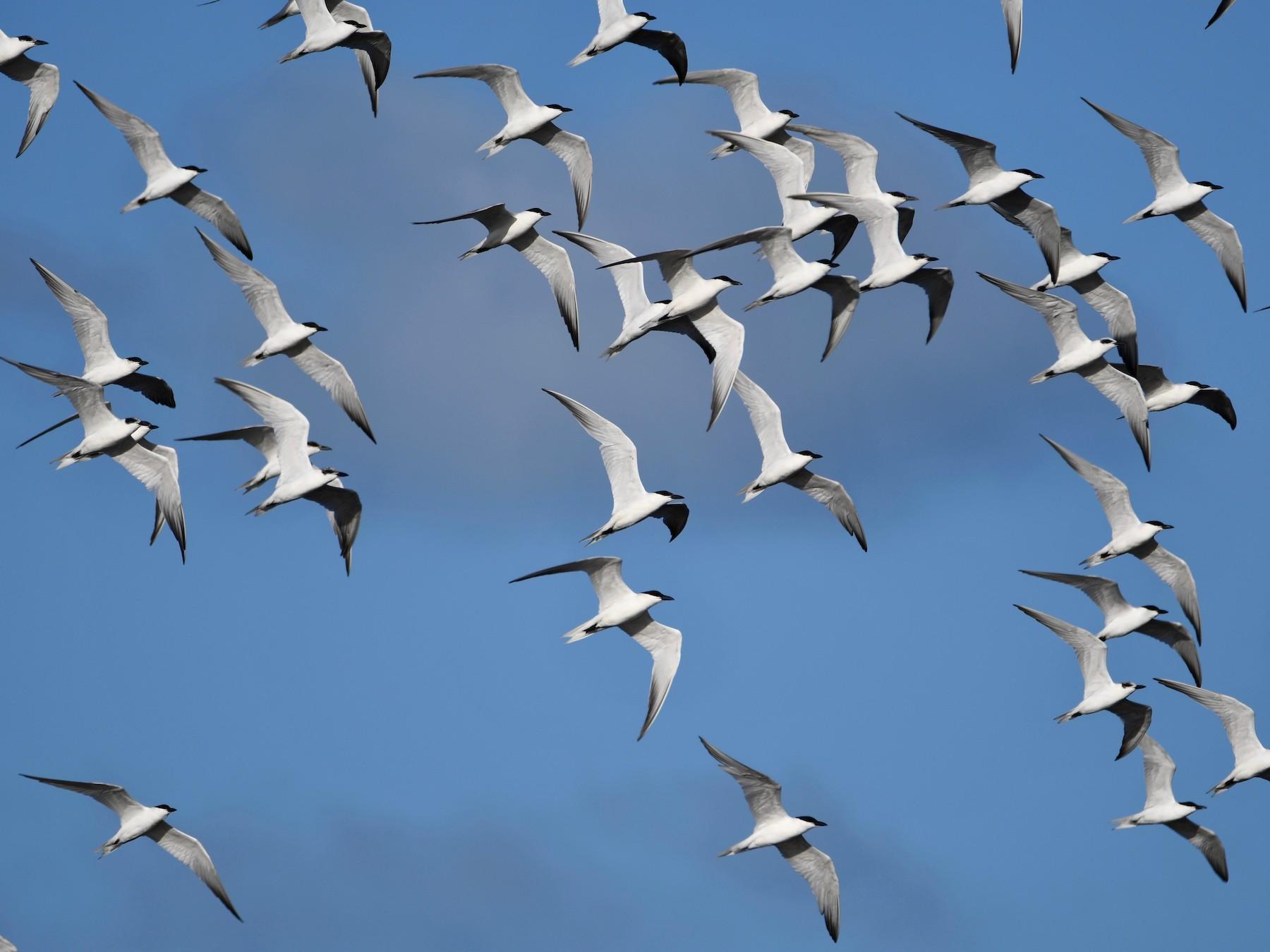 Gull-billed Tern - Michael Daley