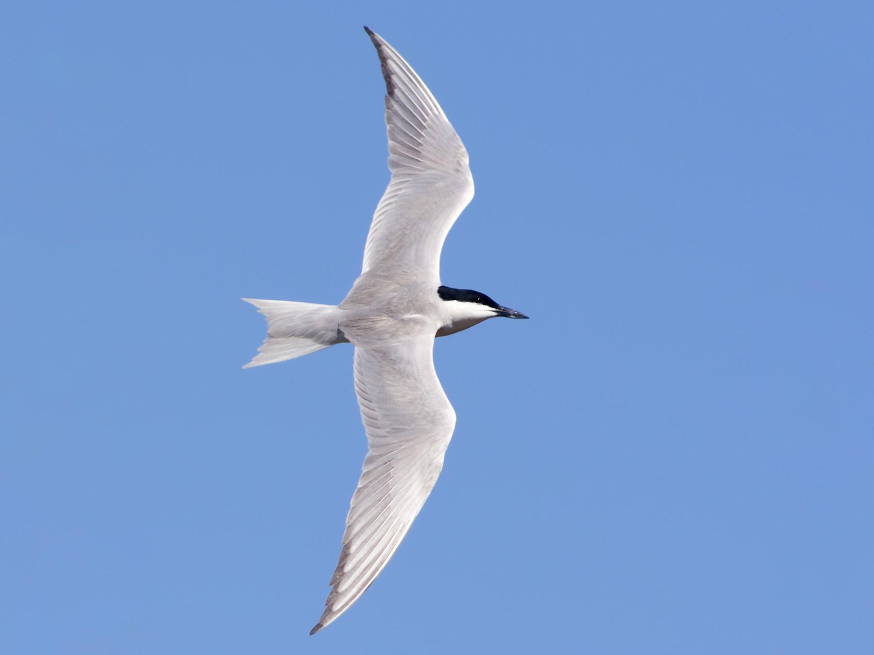 Gull-billed Tern - Lorenzo Cocco