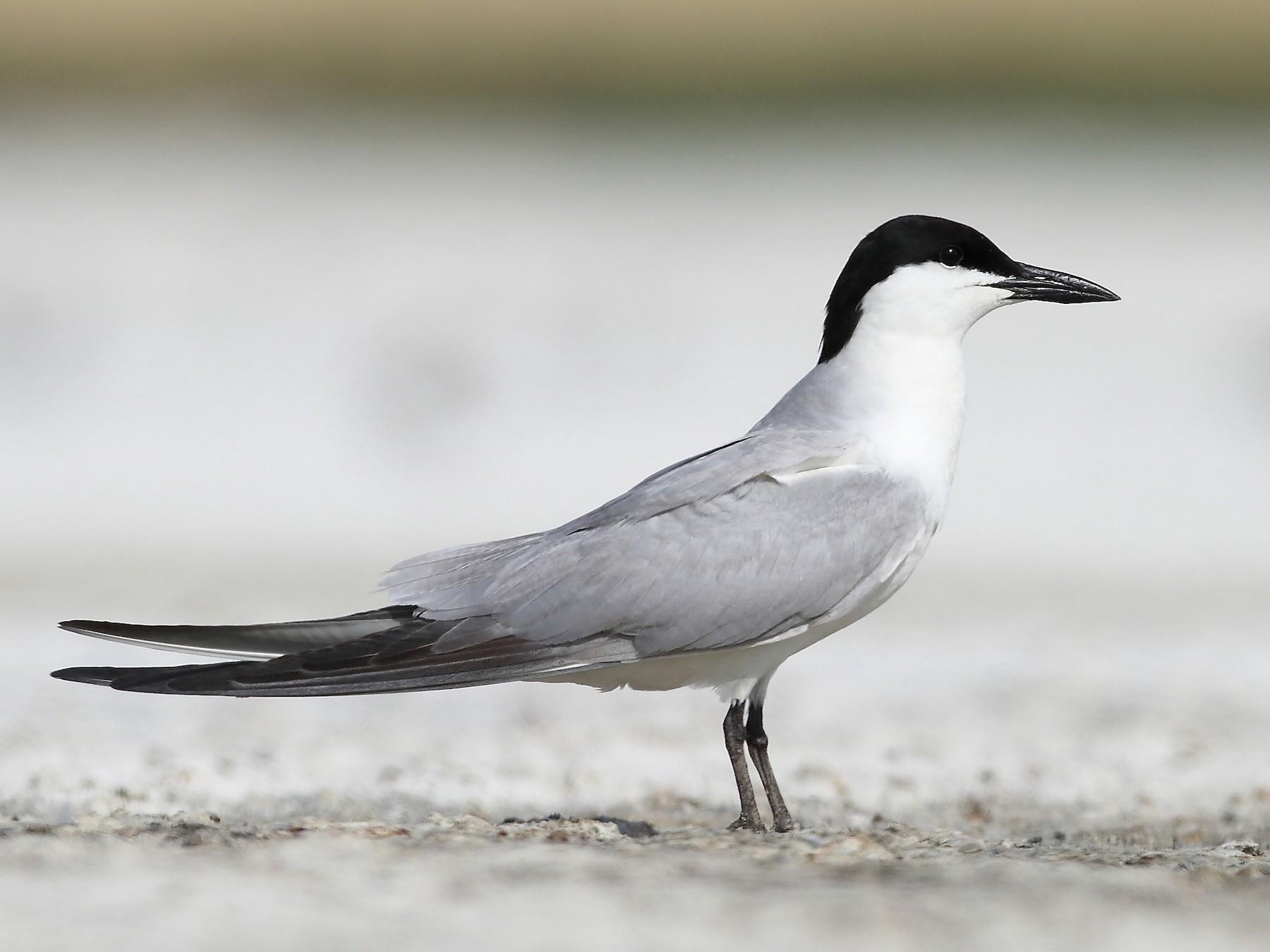 Gull-billed Tern - Carlos Bocos
