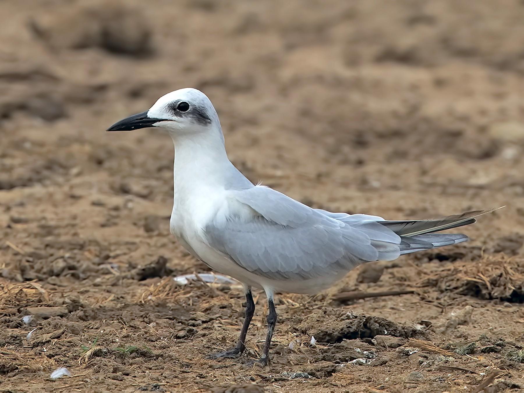 Gull-billed Tern - Marco Valentini