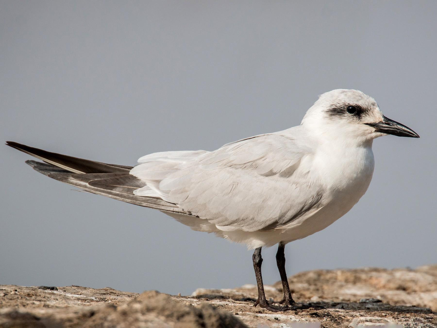 Gull-billed Tern - Ian Davies
