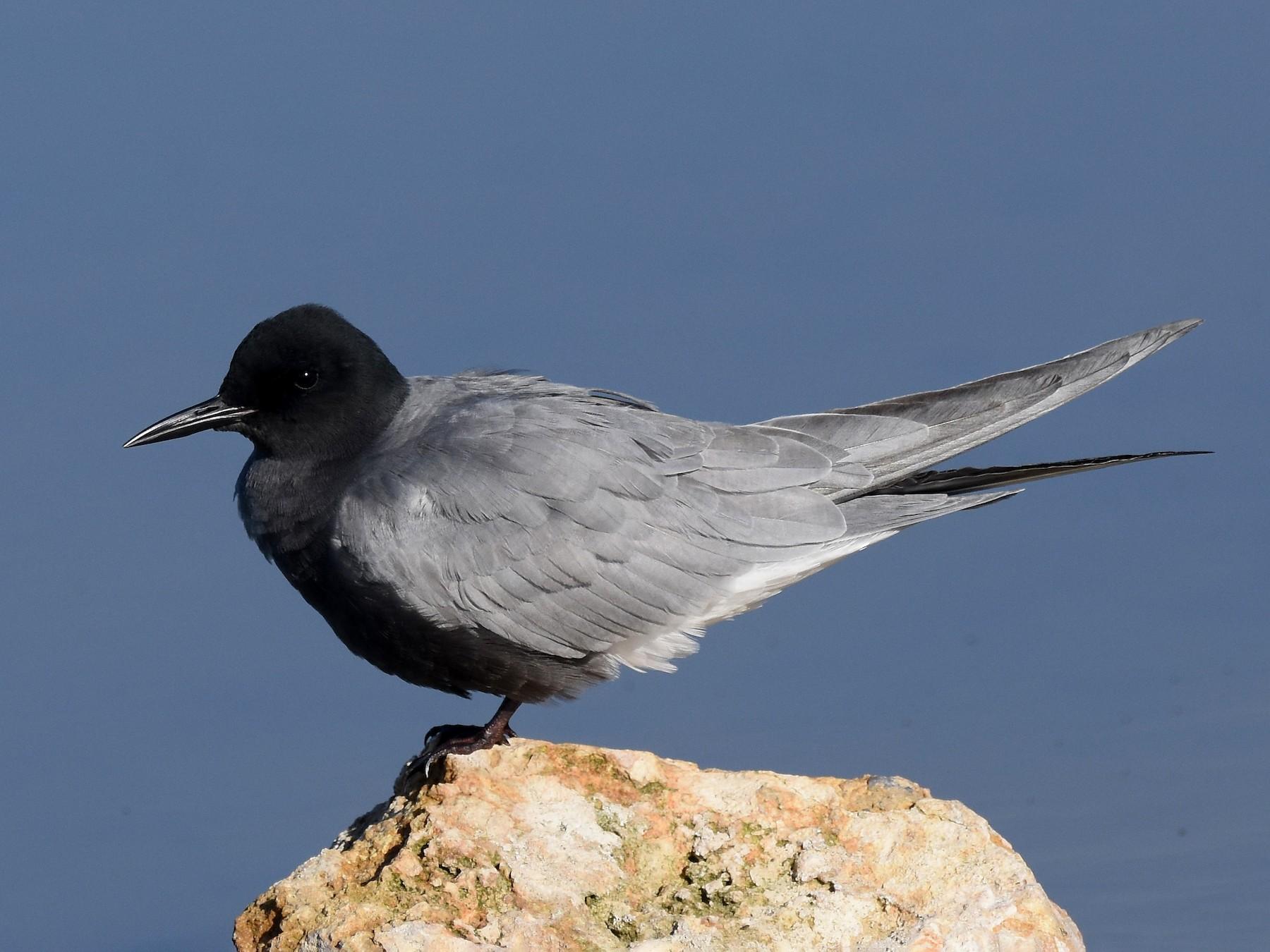 Black Tern - Santiago Caballero Carrera