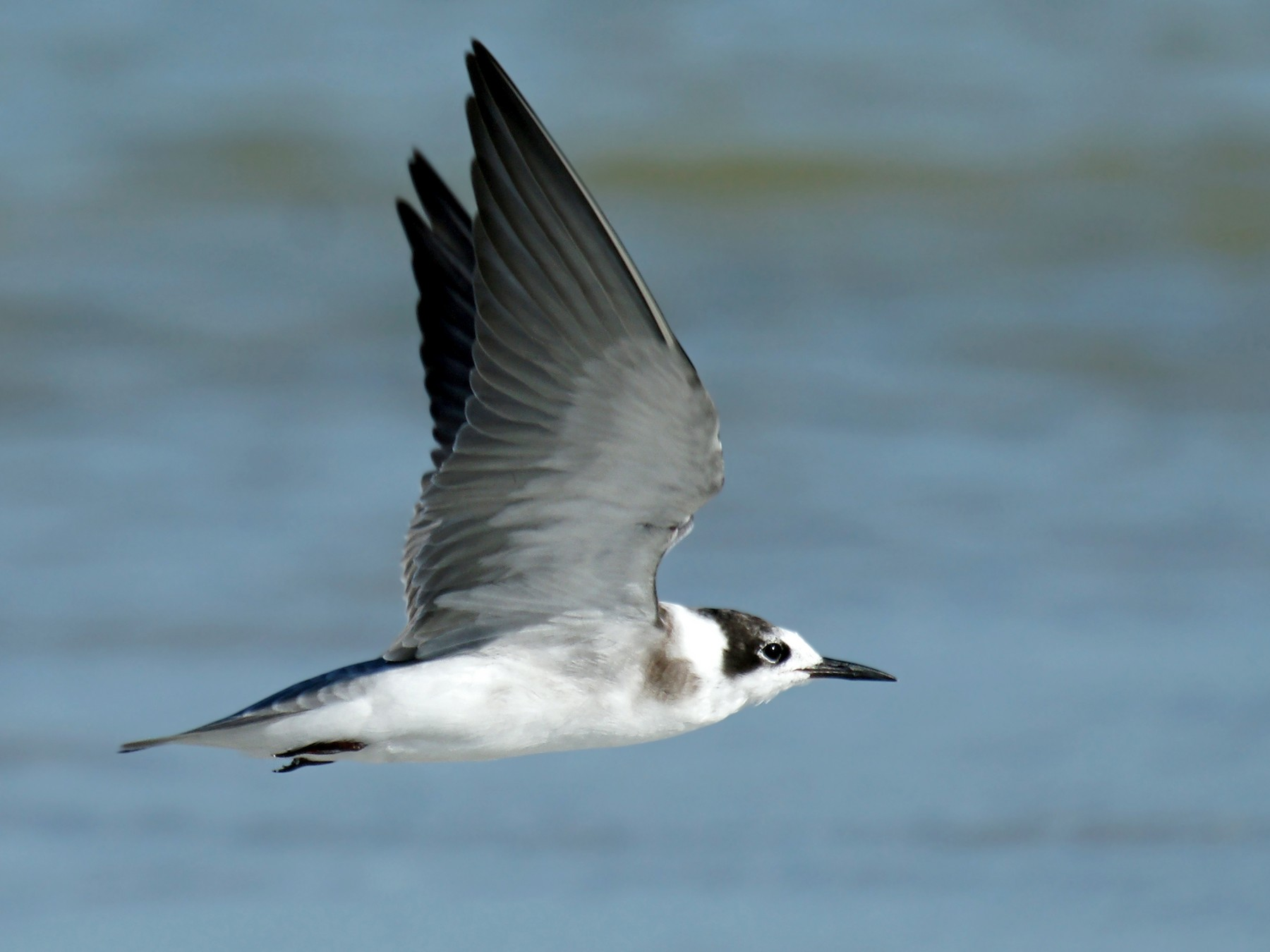 Black Tern - David Irving