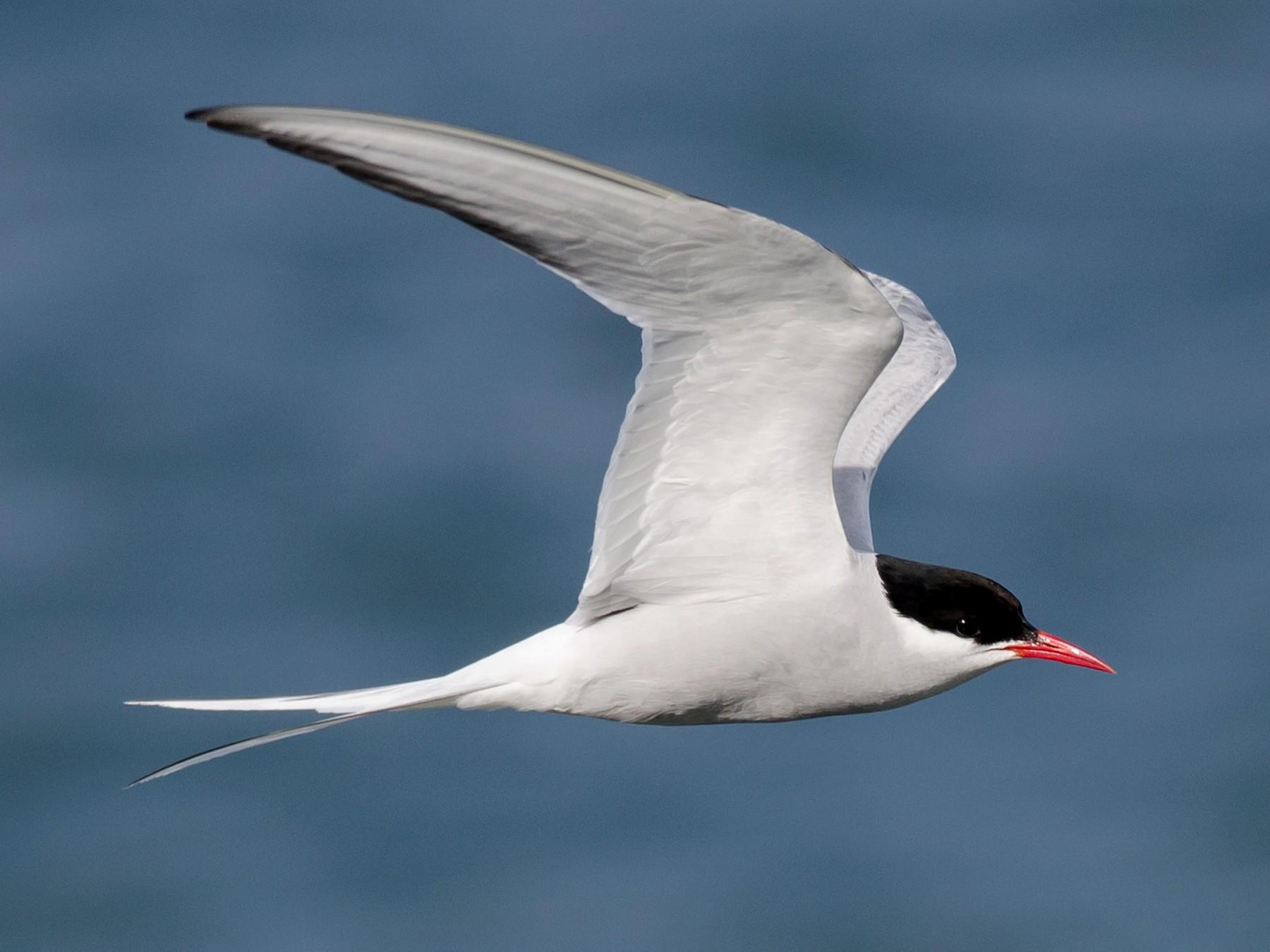 Arctic Tern - Alix d'Entremont