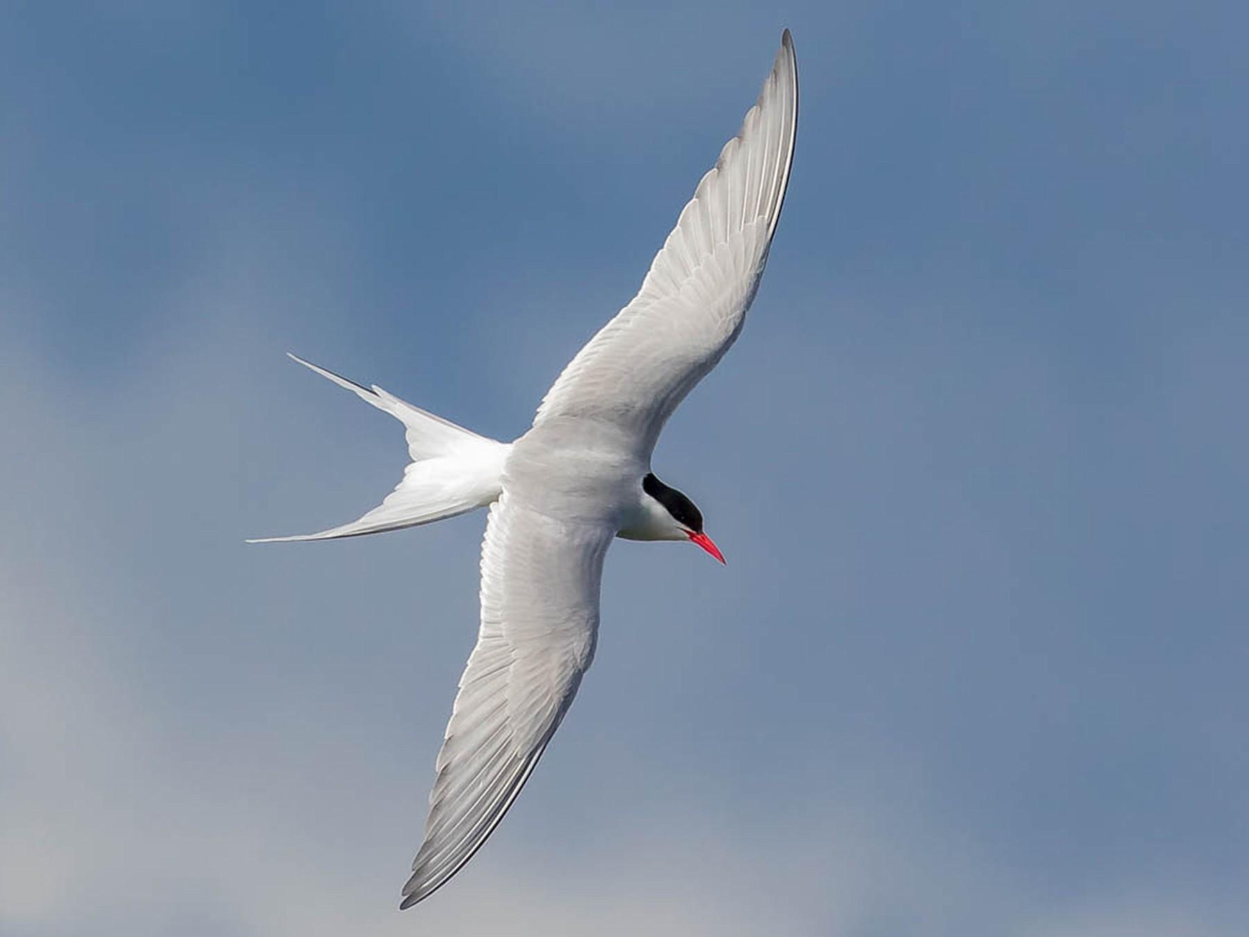 Arctic Tern - Melissa Hafting