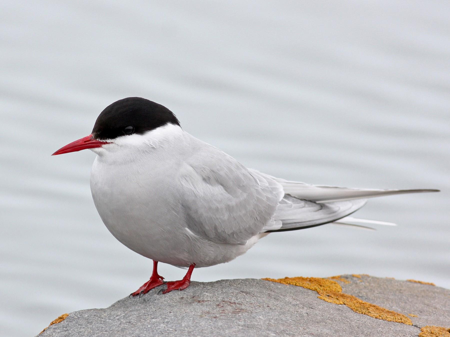 Arctic Tern - Jay McGowan