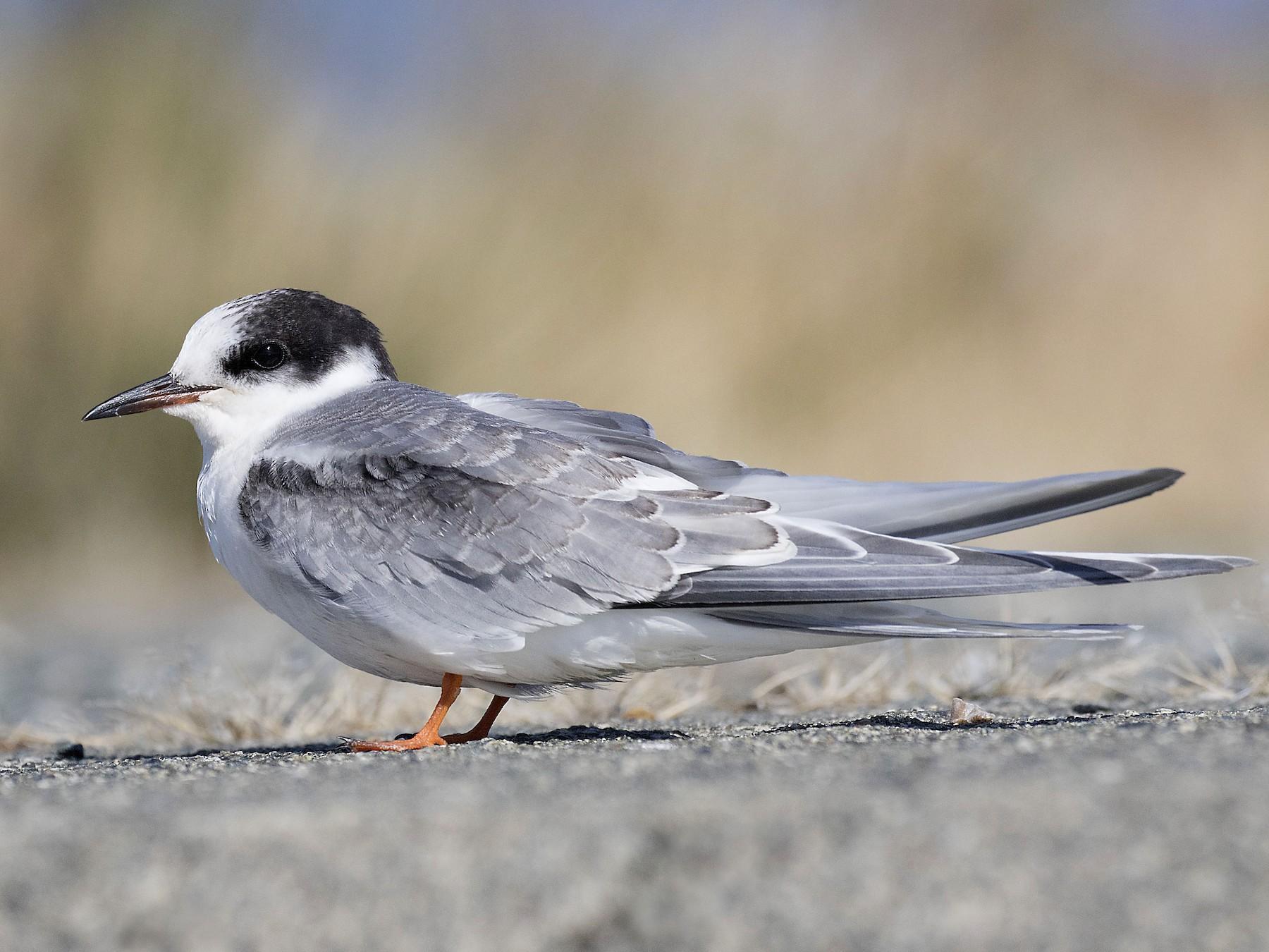 Arctic Tern - Peter Candido
