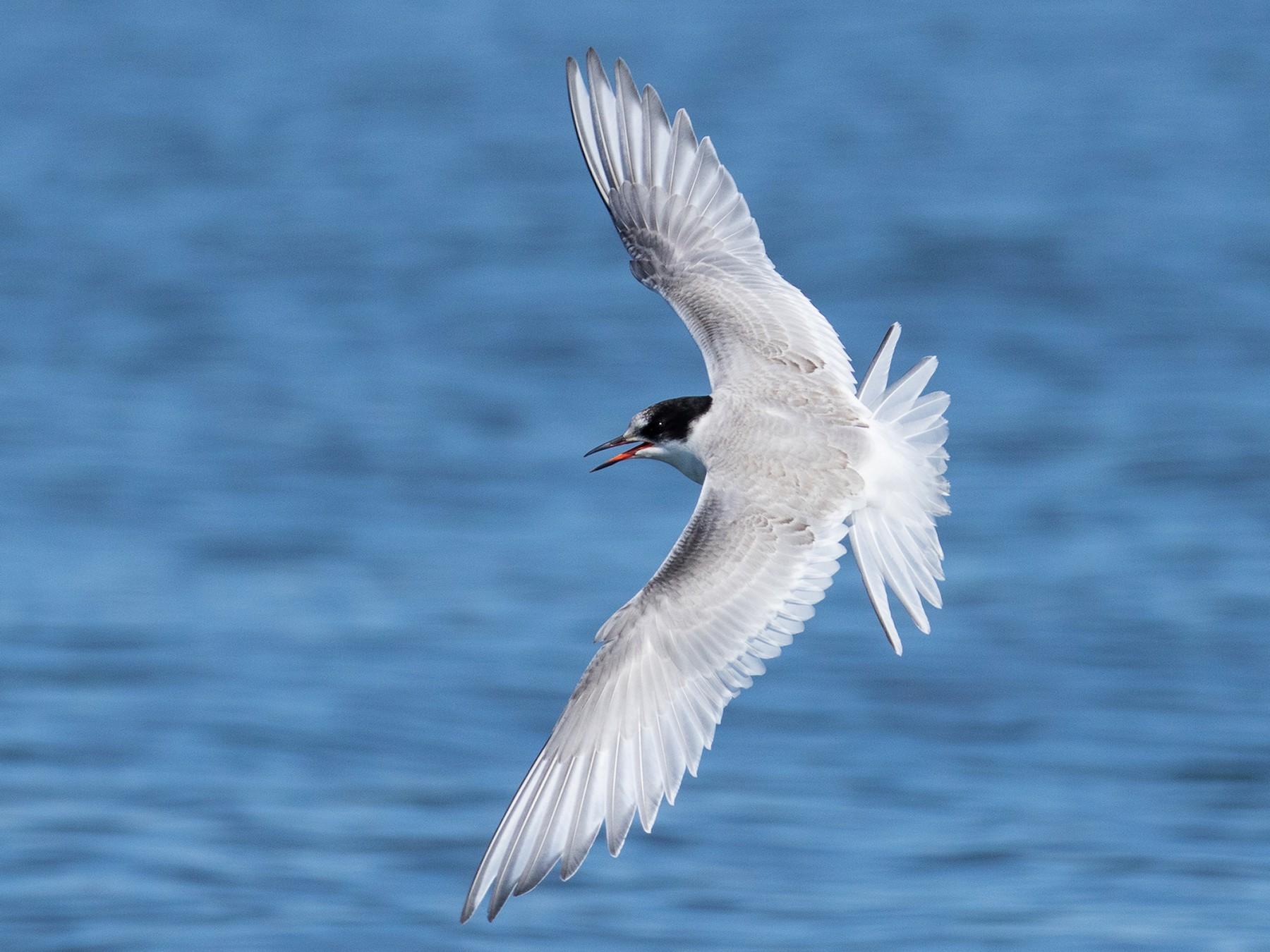 Arctic Tern - Ilya Povalyaev