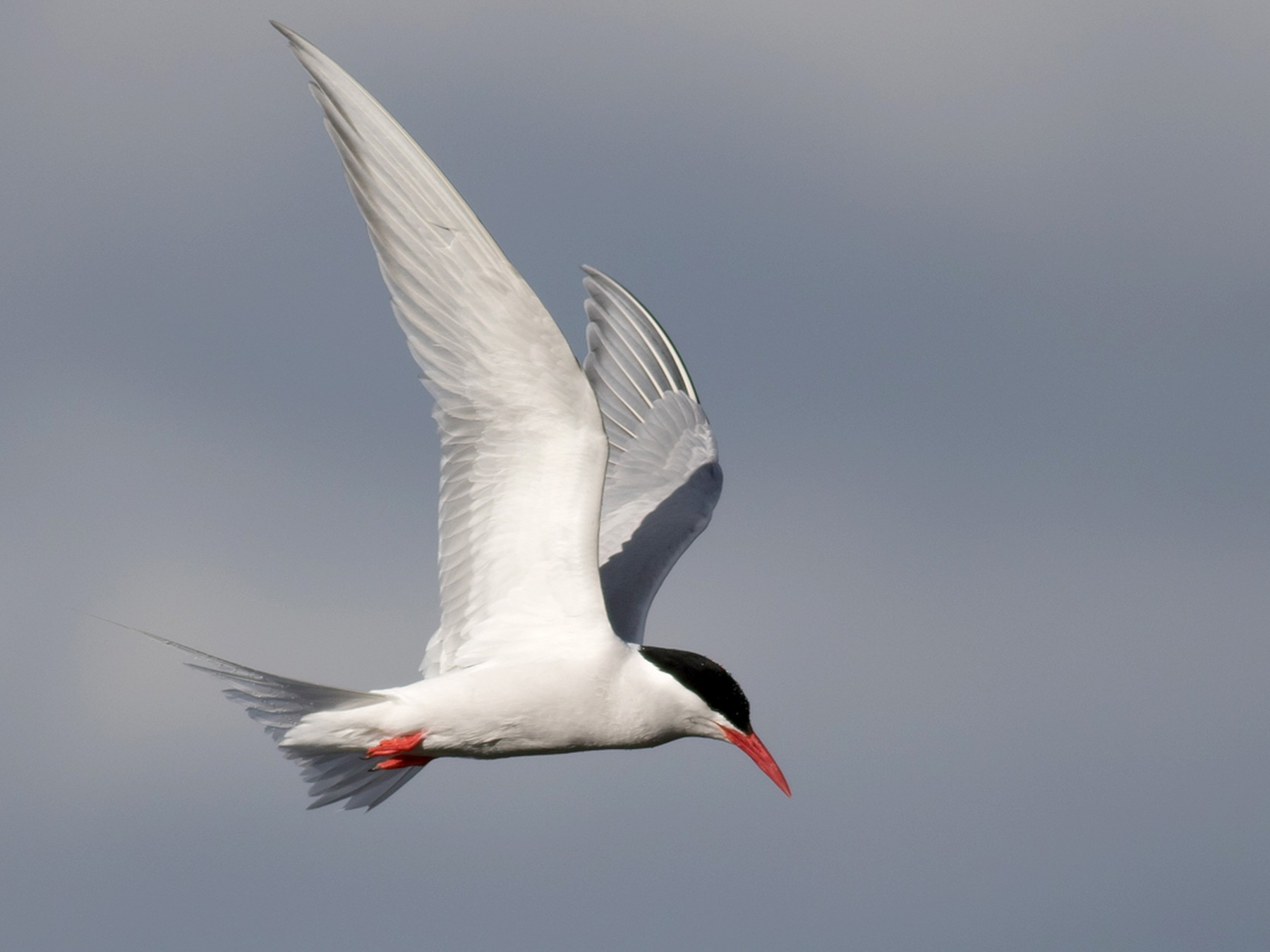 South American Tern - Tom Johnson