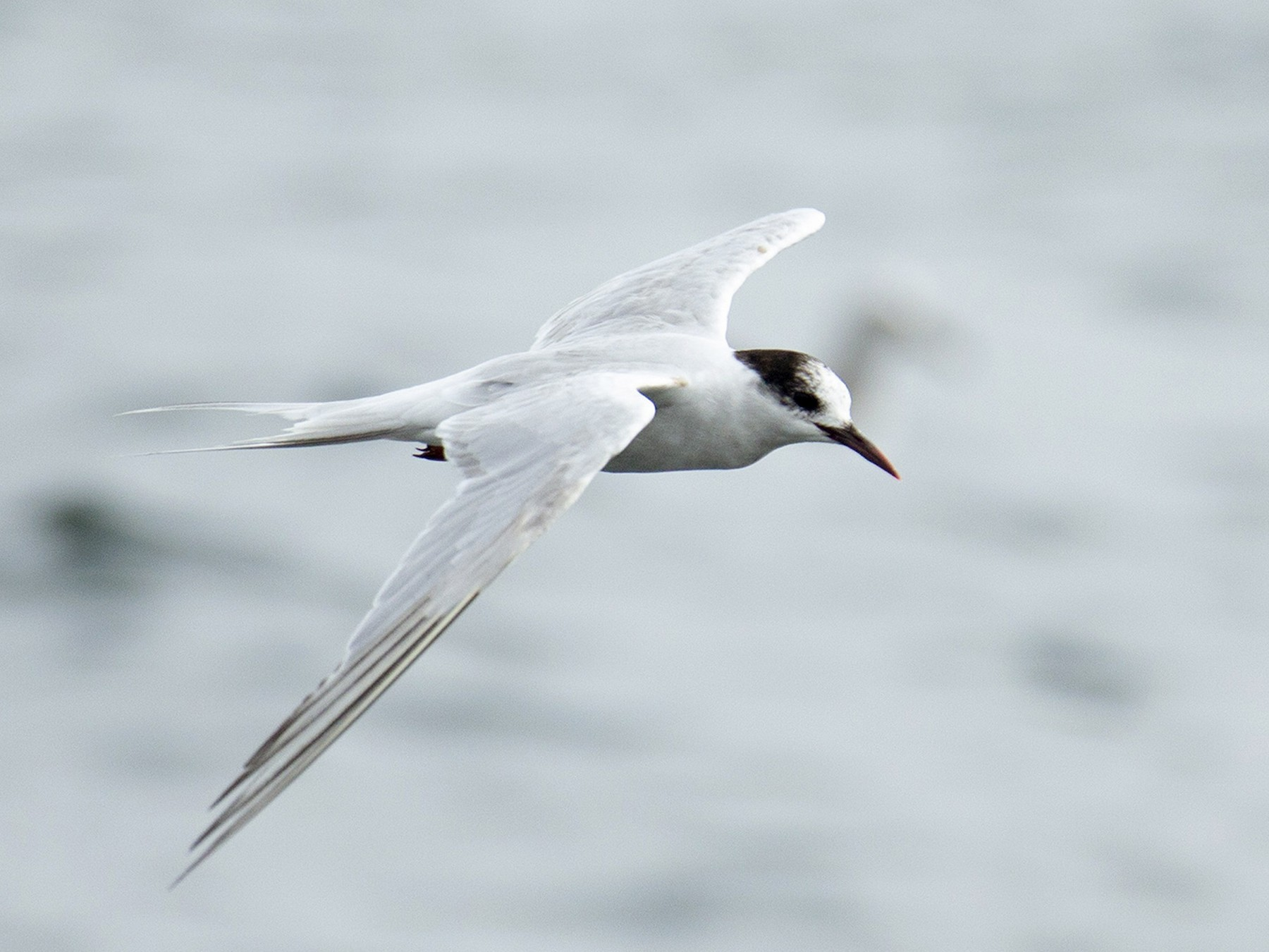 South American Tern - Joshua Covill