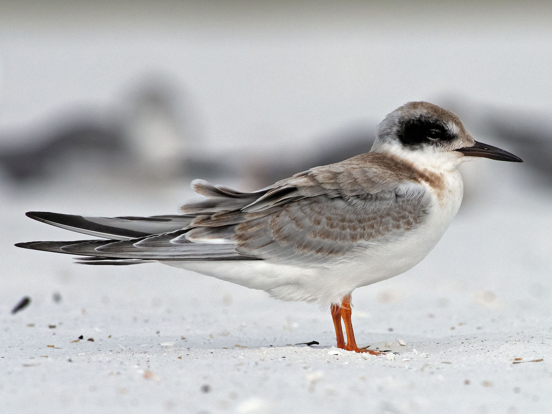 Forster's Tern - Denny Swaby