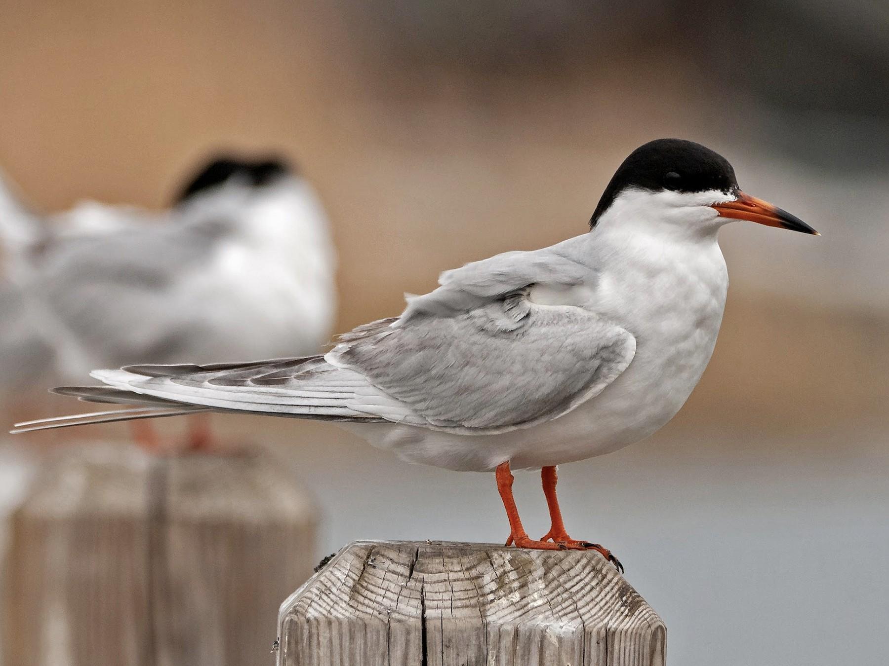Forster's Tern - Andrew Simon