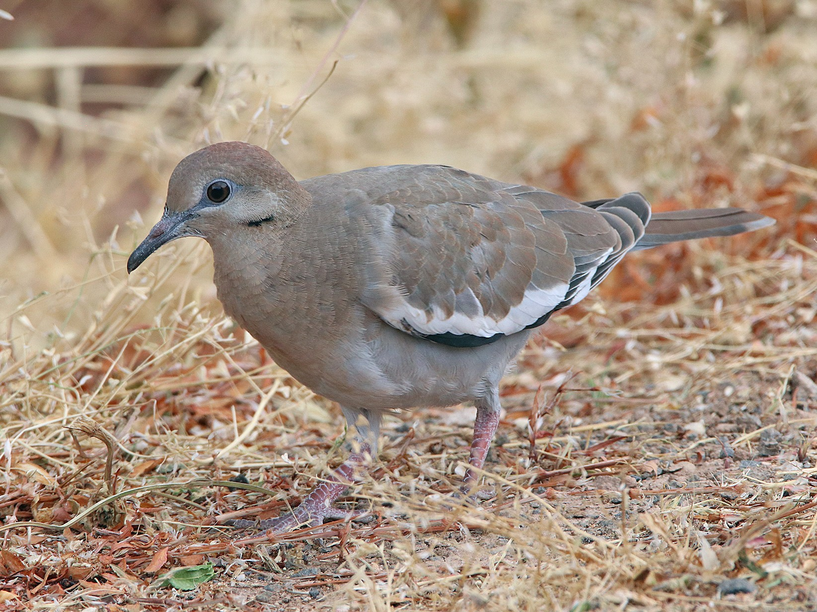 White-winged Dove - Tim Avery