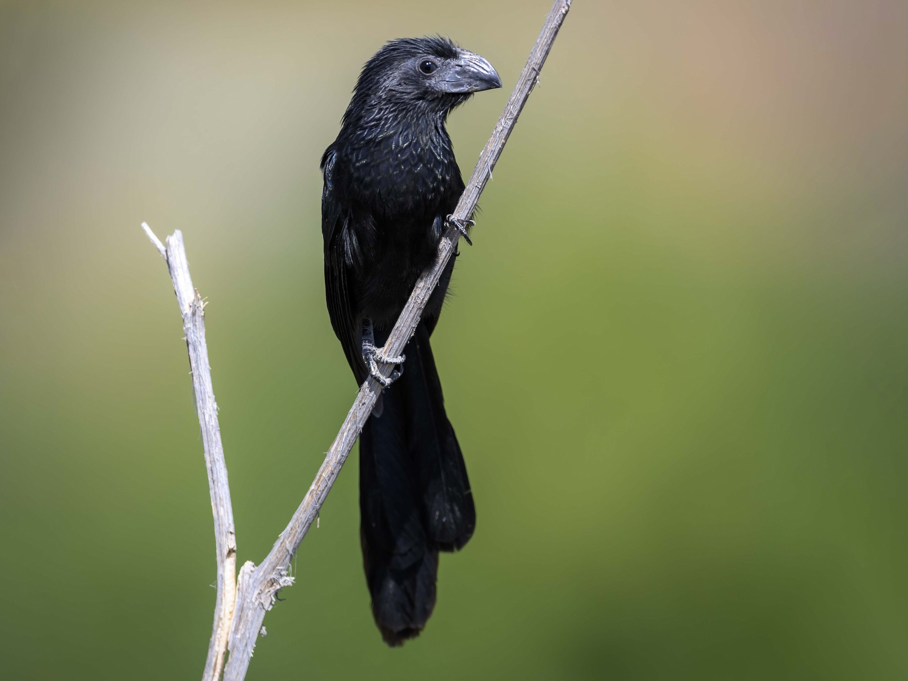 Groove-billed Ani - Cameron Carver