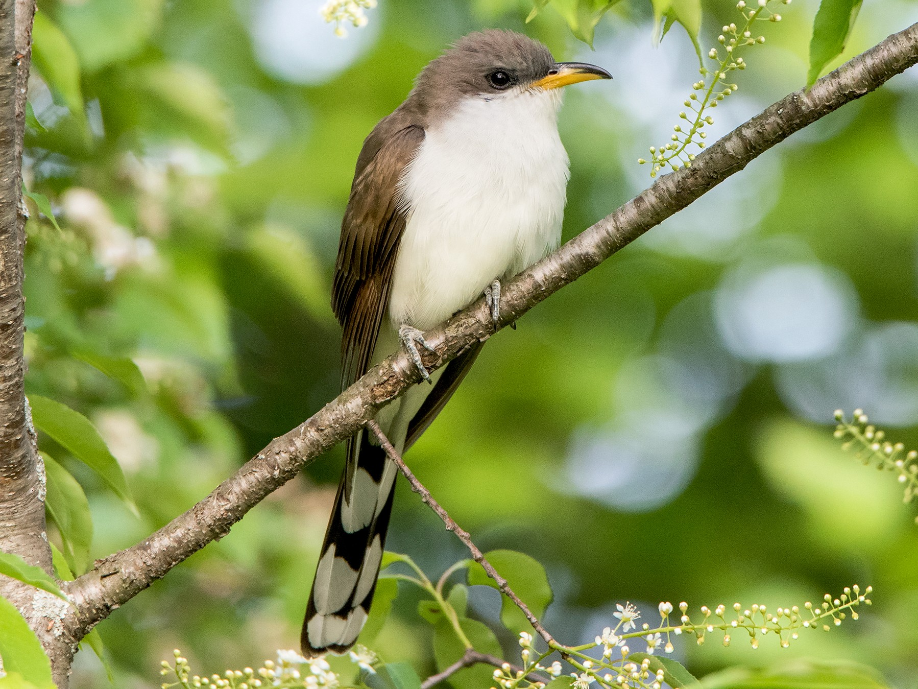 Yellow-billed Cuckoo - Sue Barth