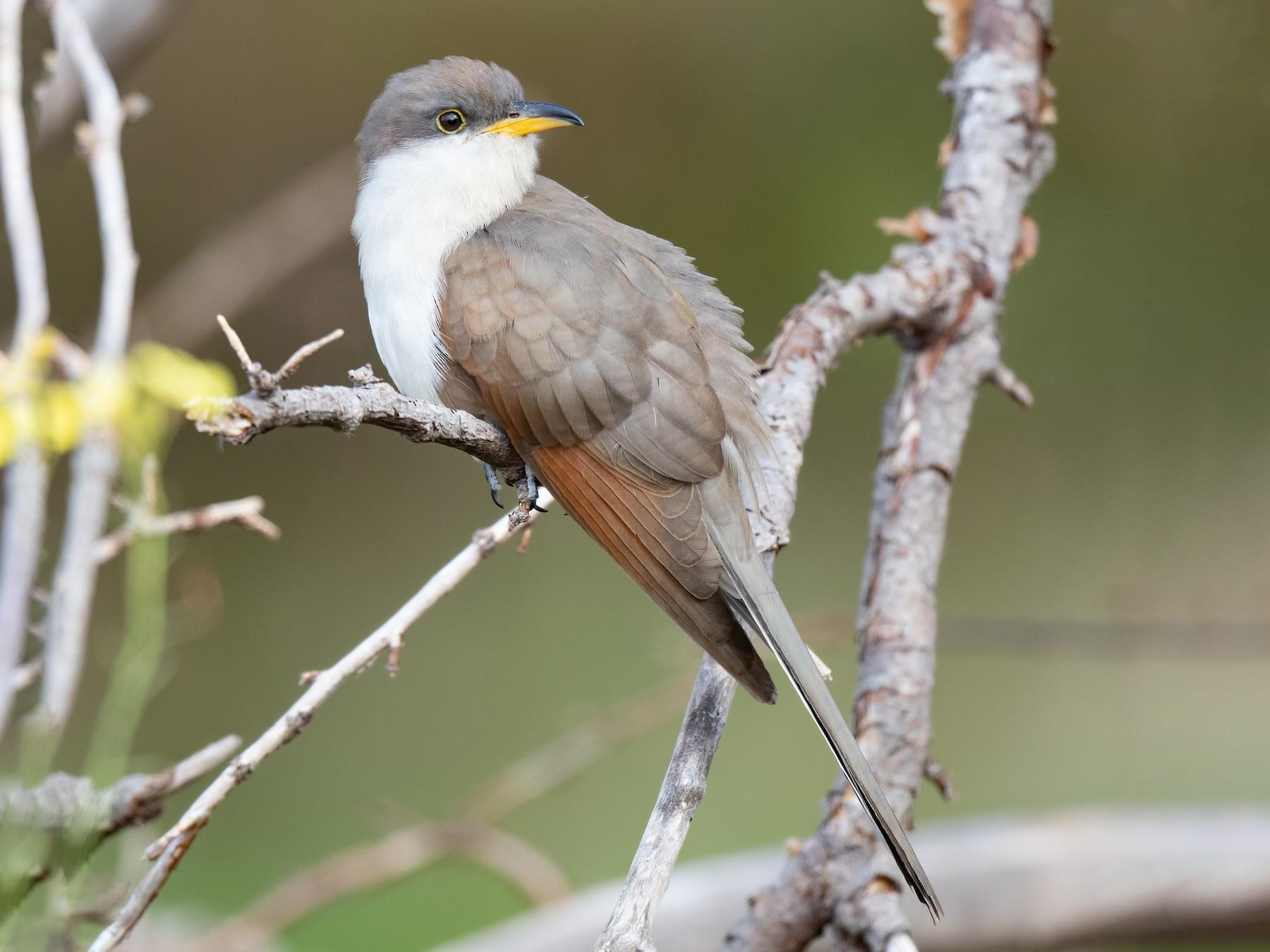 Yellow-billed Cuckoo - Leo McKillop