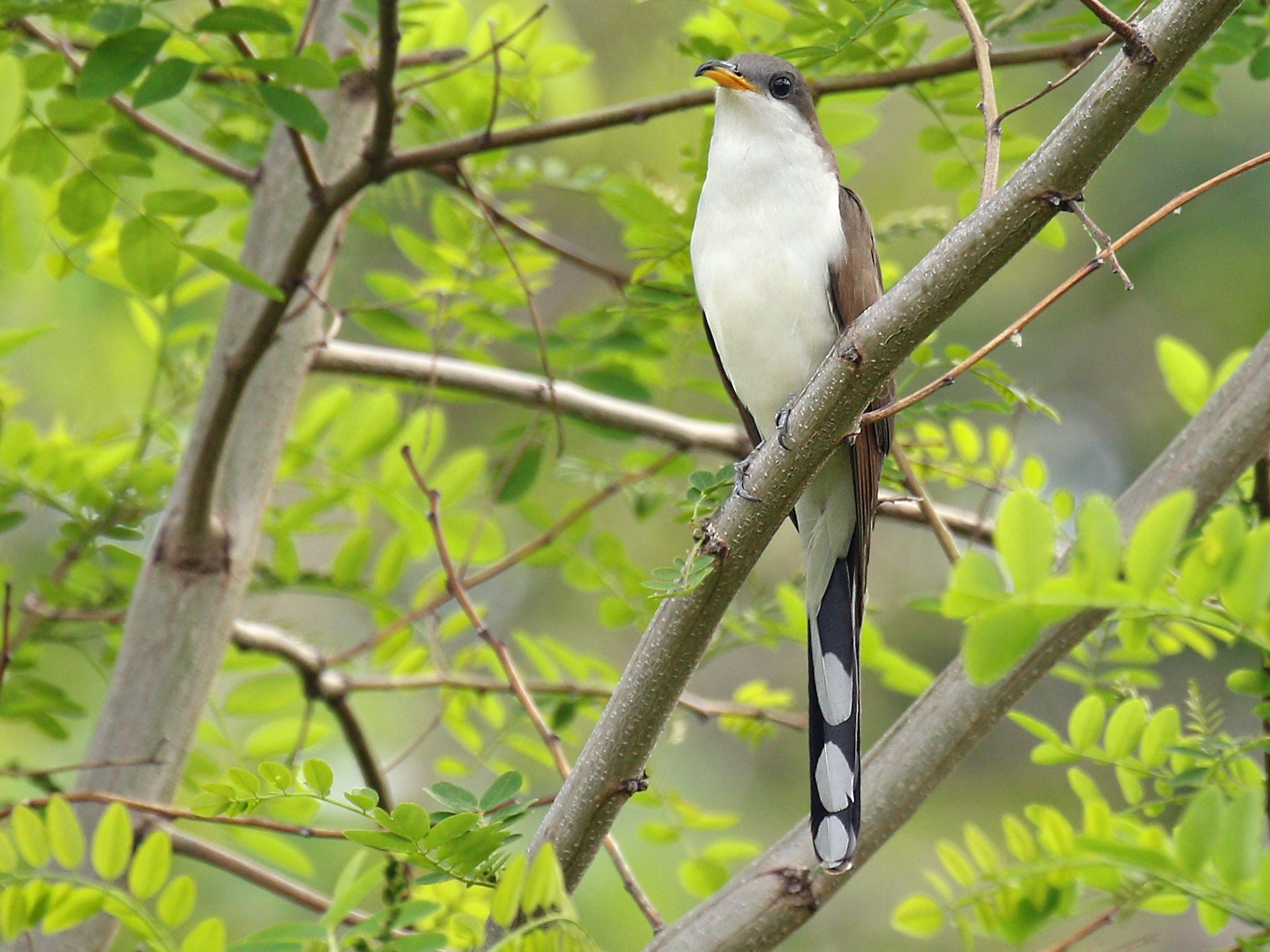 Yellow-billed Cuckoo - Ryan Schain