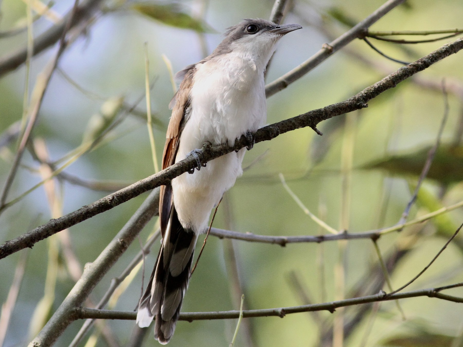 Yellow-billed Cuckoo - Adam Sell