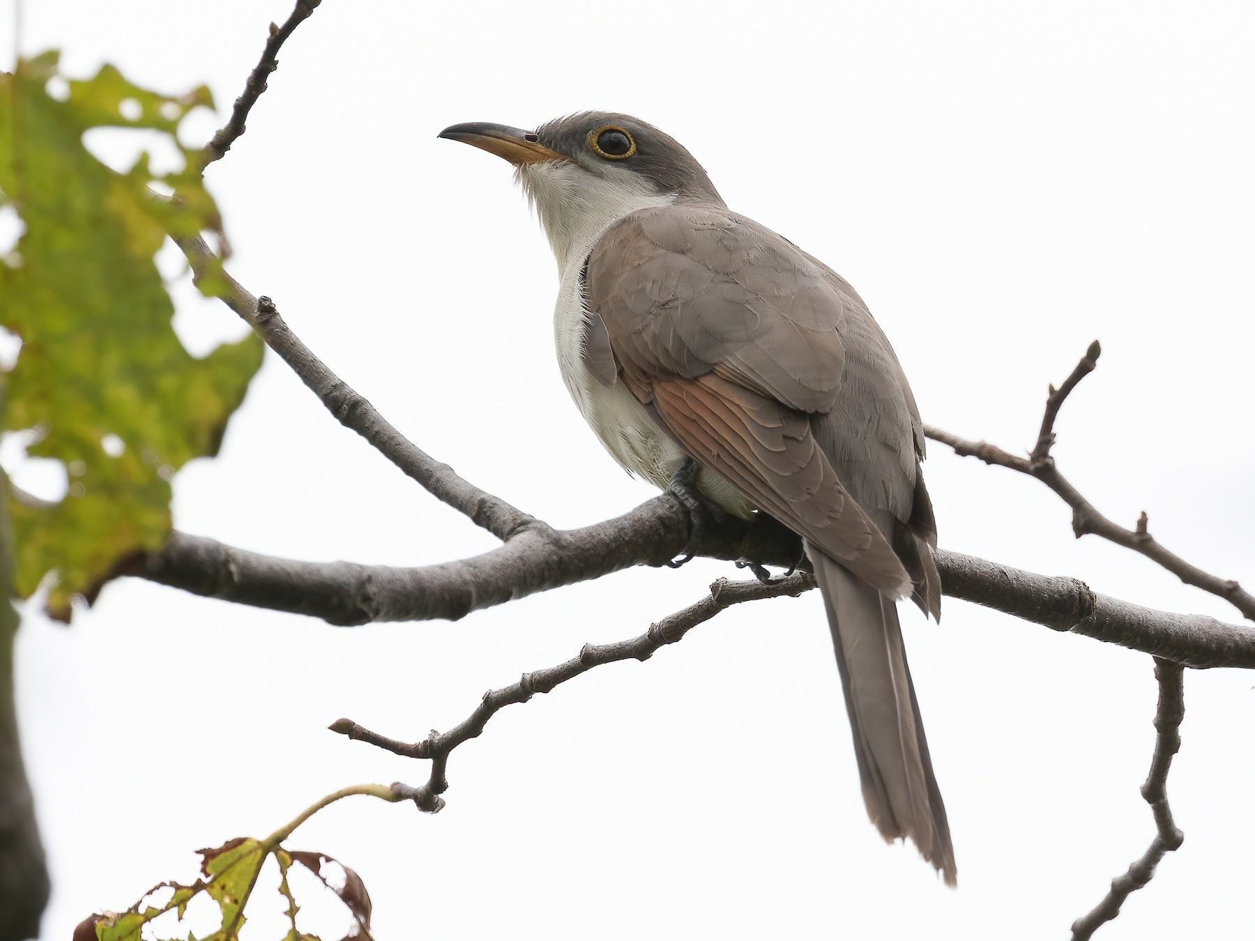Yellow-billed Cuckoo - Blair Dudeck