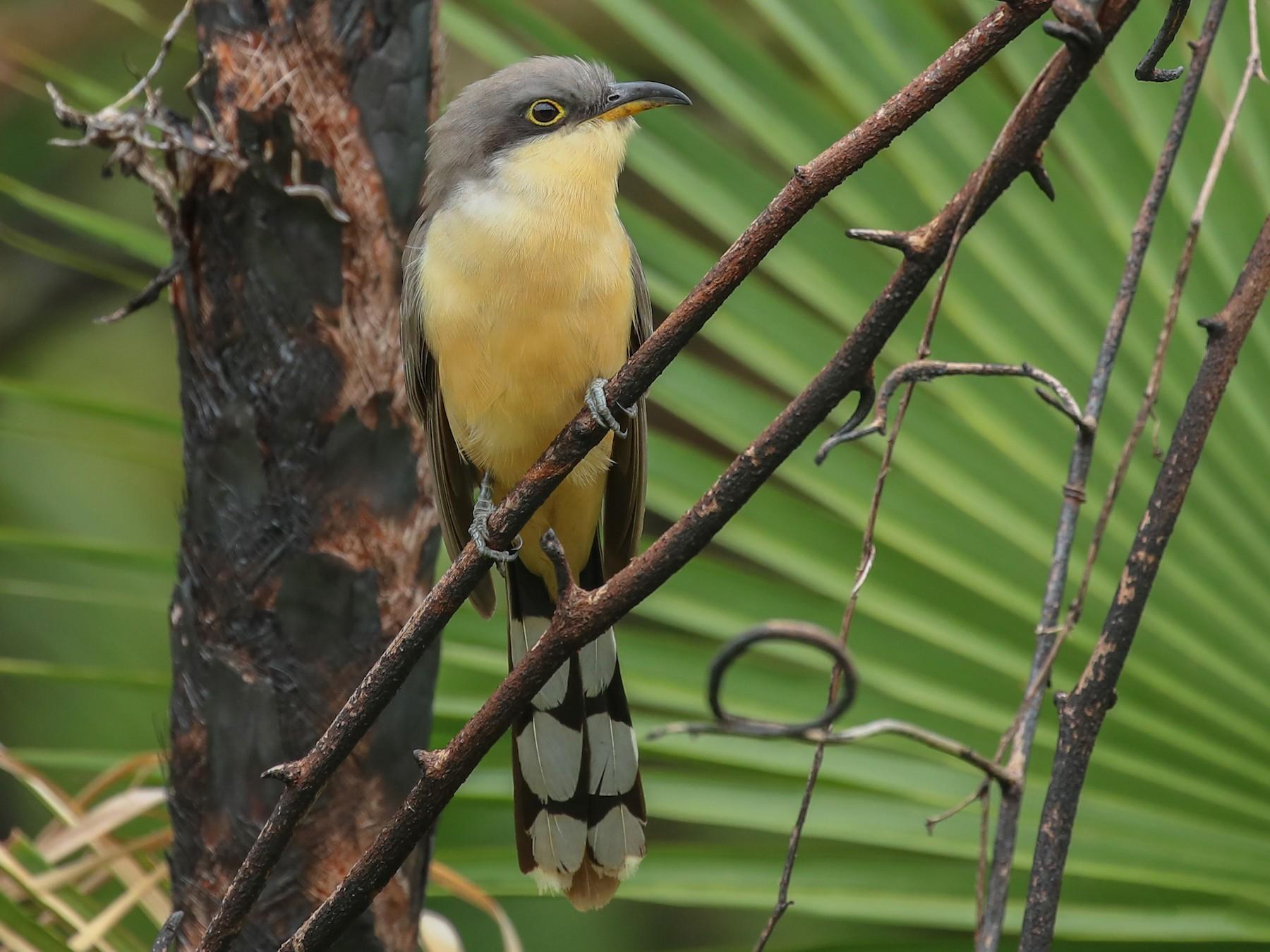 Mangrove Cuckoo - Aaron Juan