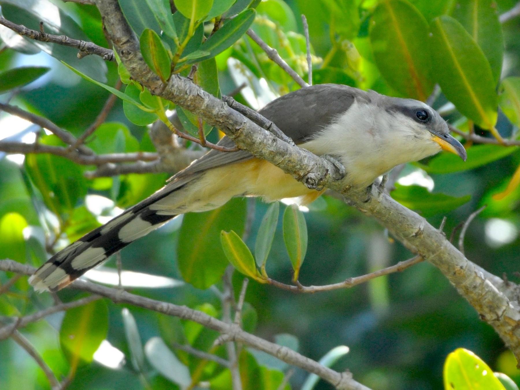 Mangrove Cuckoo - Oliver Patrick
